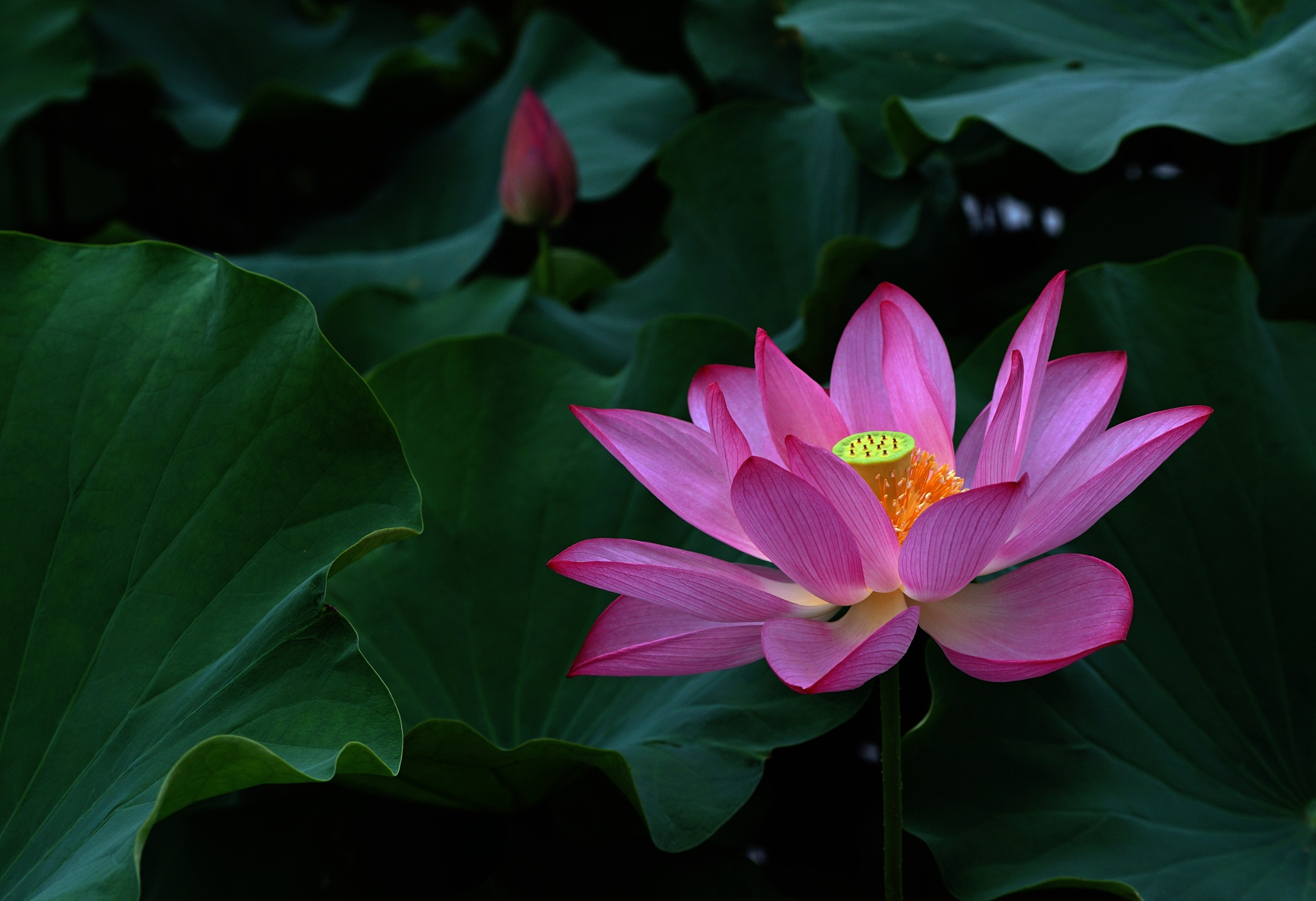 Beautiful Pink Lotus by Shermancheang