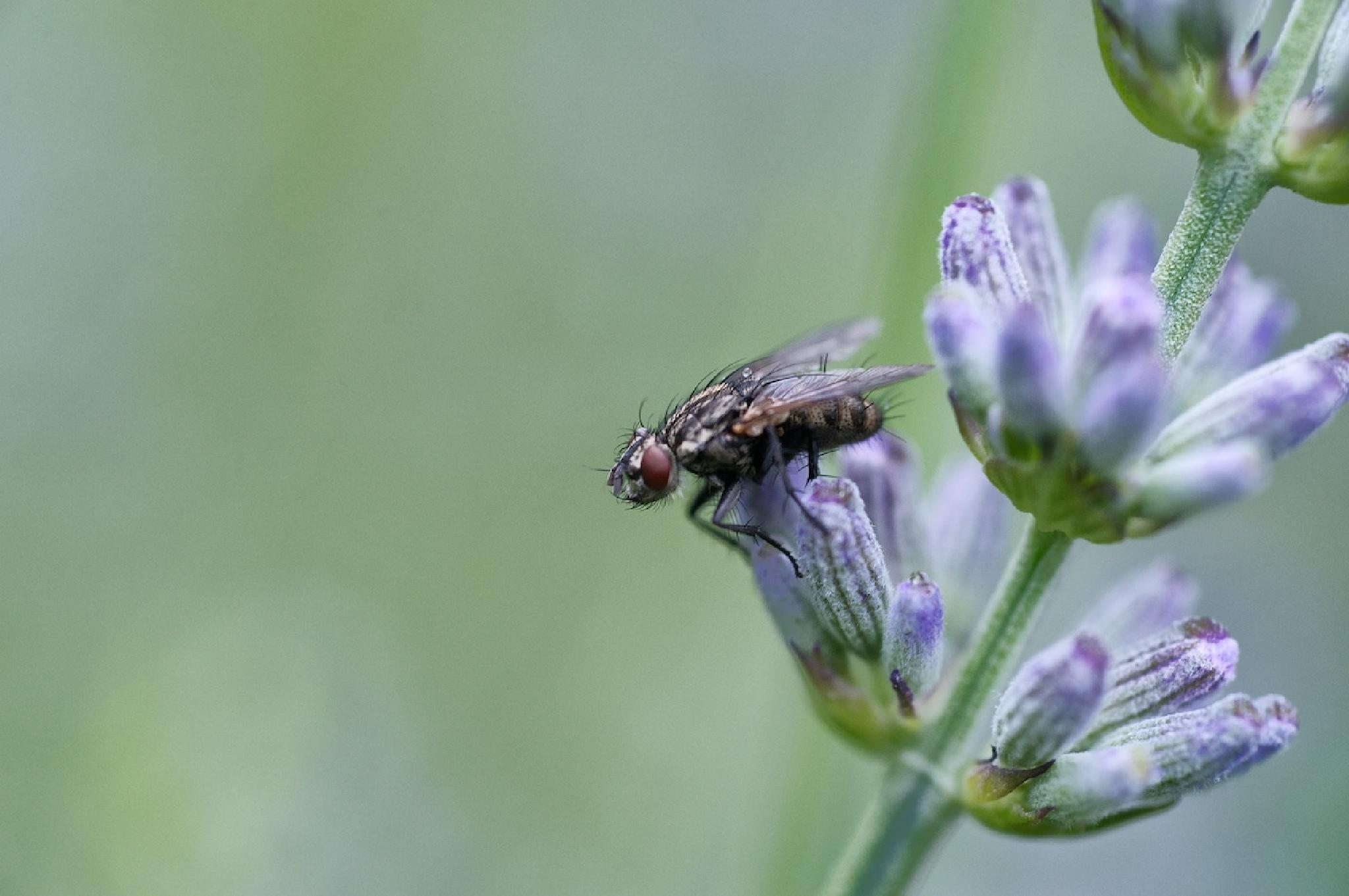 Diptera on Lavender by Ian K. Iles