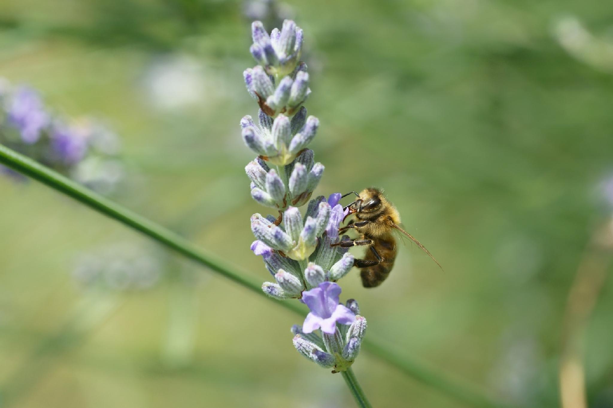 Honey bee by Ian K. Iles