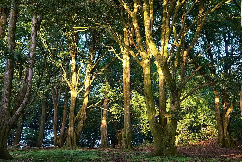 Beech Wood by Ian K. Iles