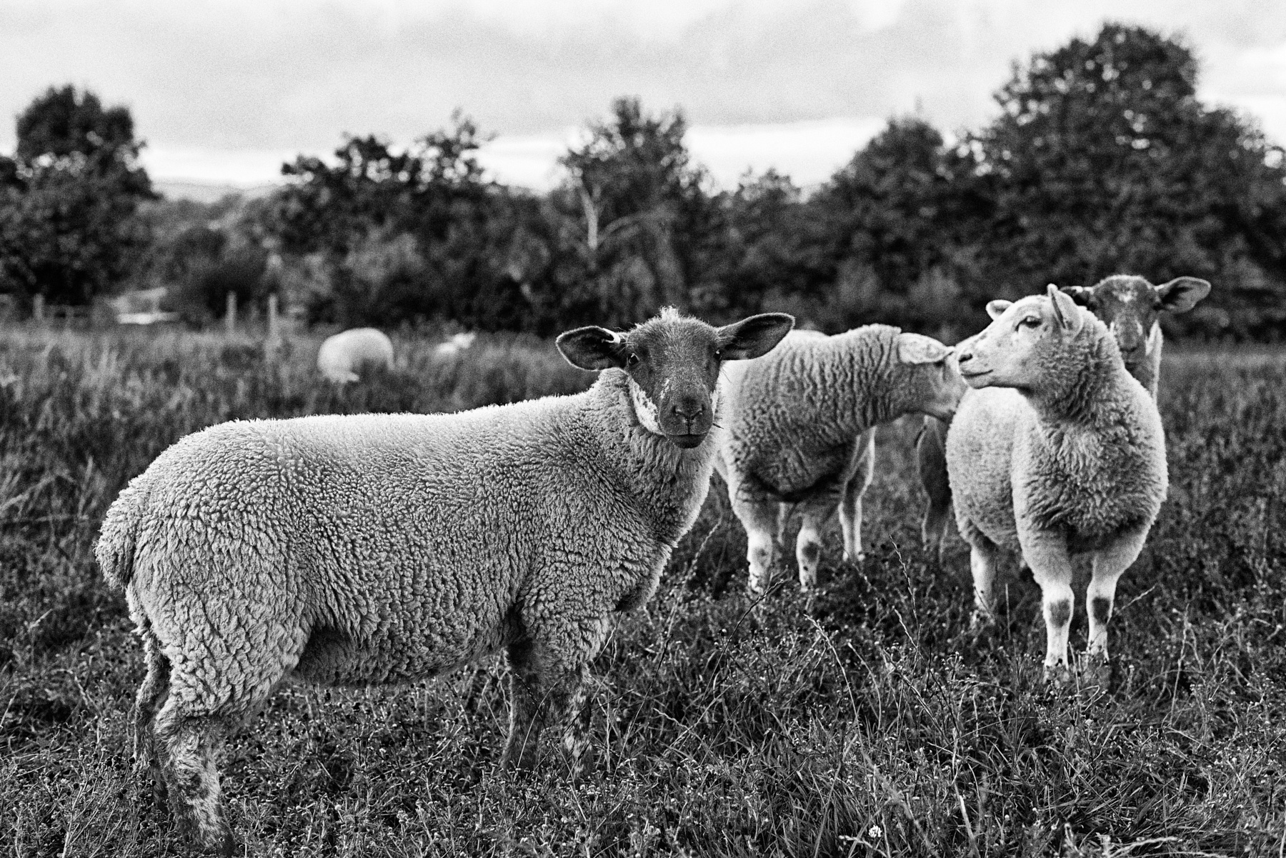 Who're ewe looking at? by Ian K. Iles
