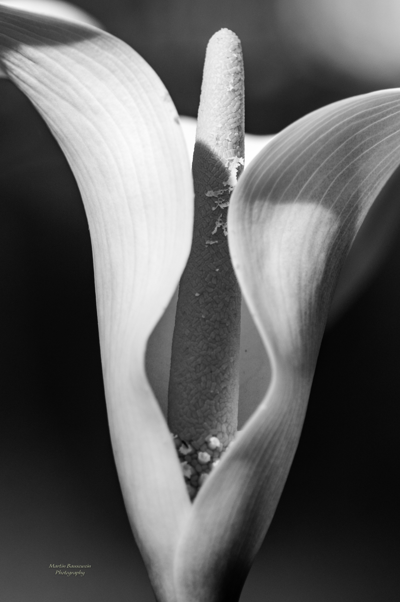 Photo in Black and White #black and white #flower #cala #close #closeup