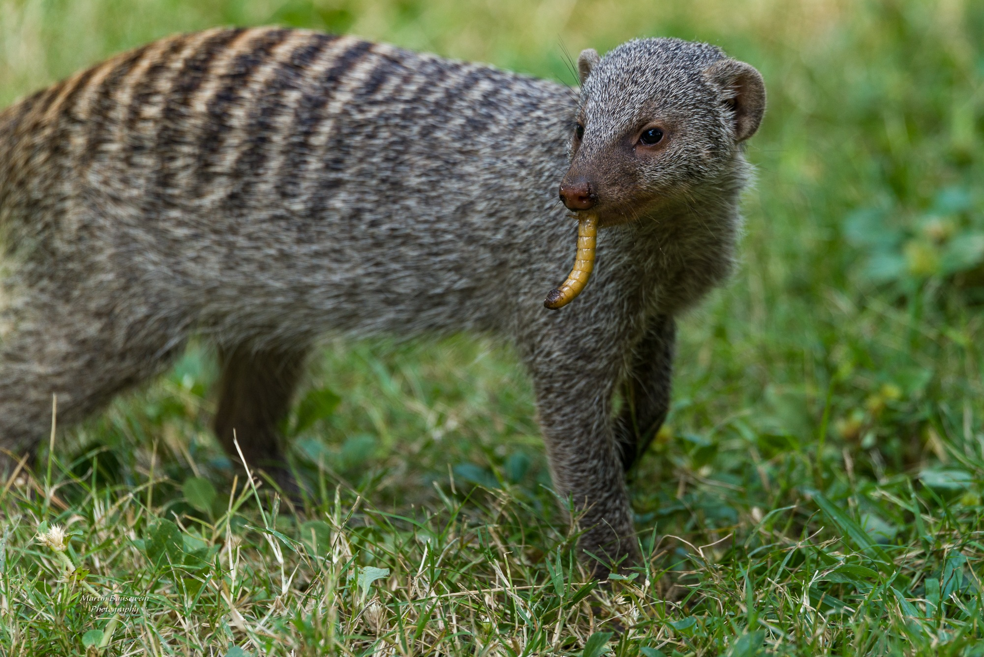 banded mongoose by Martin Bausewein