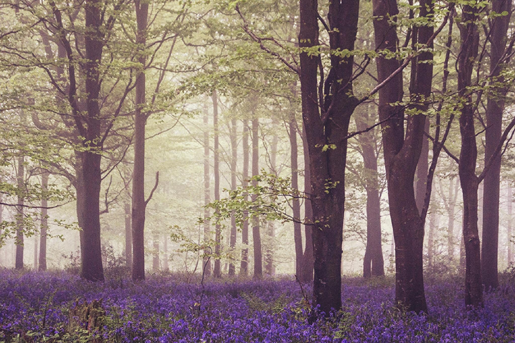 bluebell woods by jo stephen