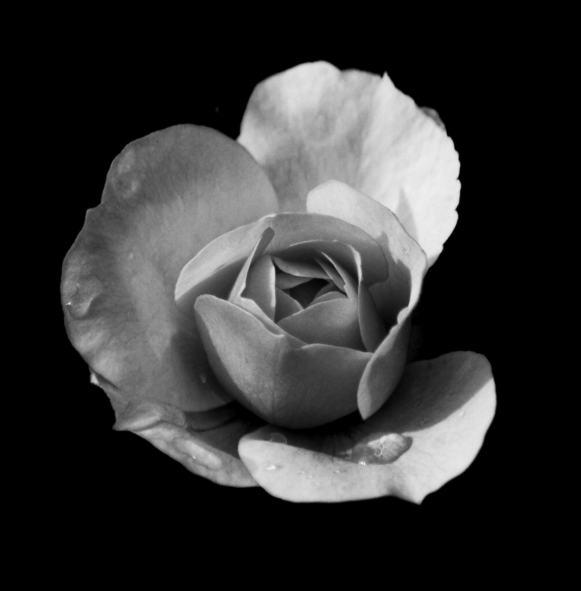 rose by jo stephen