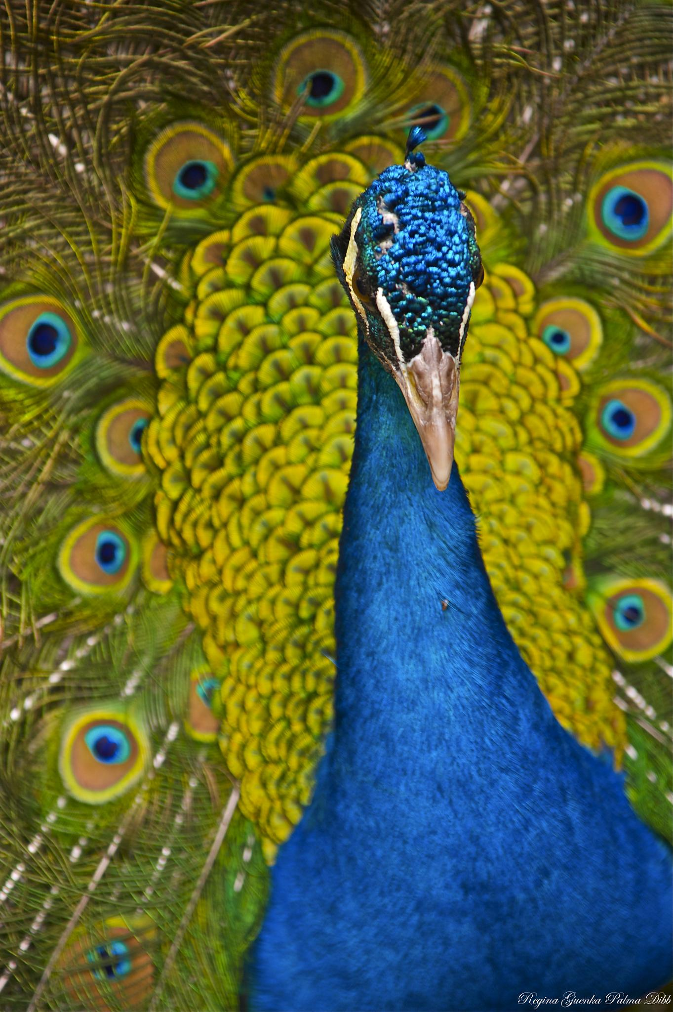 Peacok by Regina Guenka Palma-Dibb