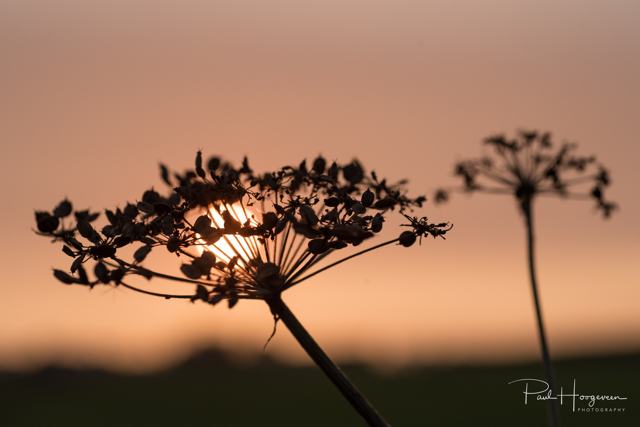 Flower silhouette at sunset by Paul Hoogeveen Photography