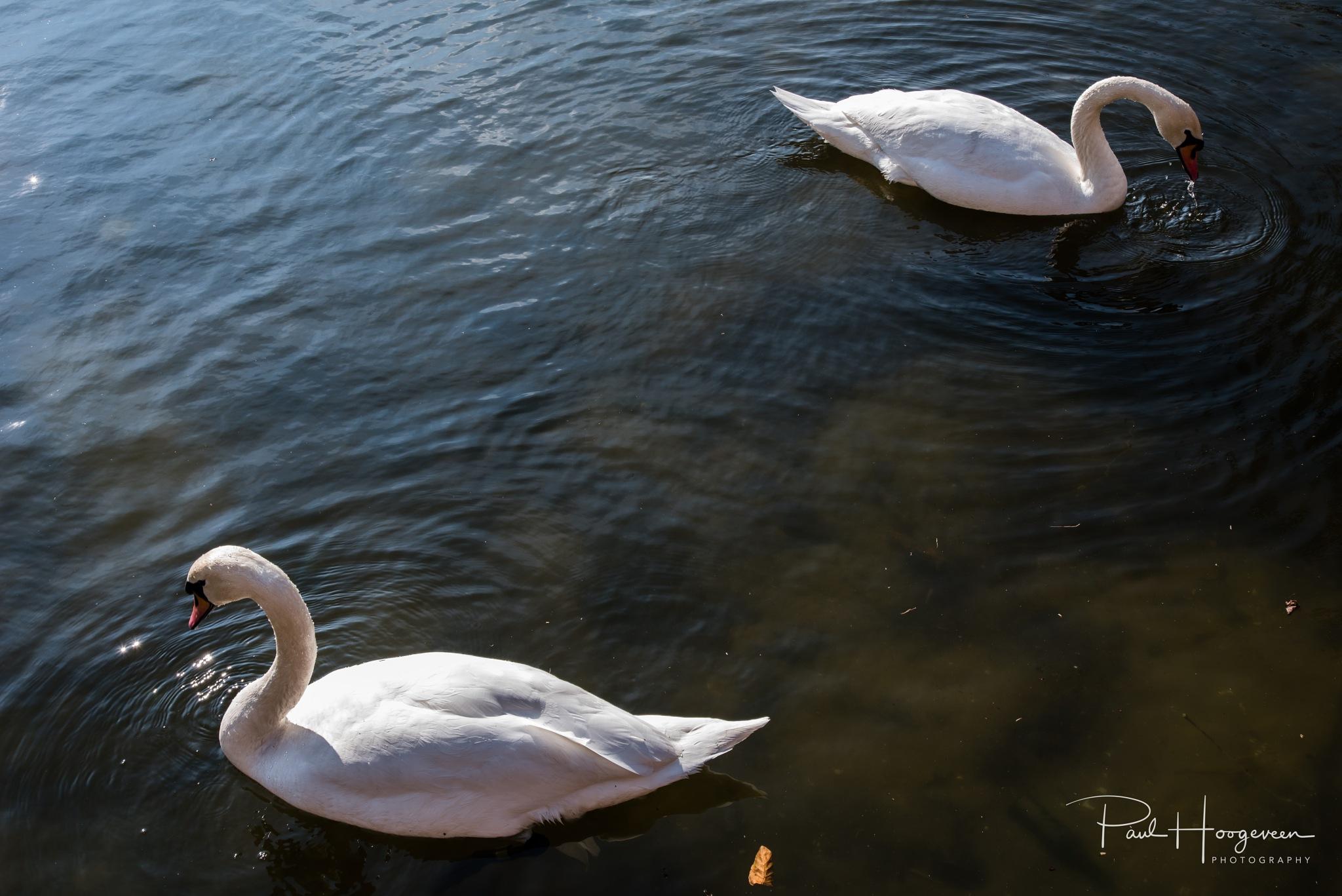 Swan symmetry by Paul Hoogeveen Photography