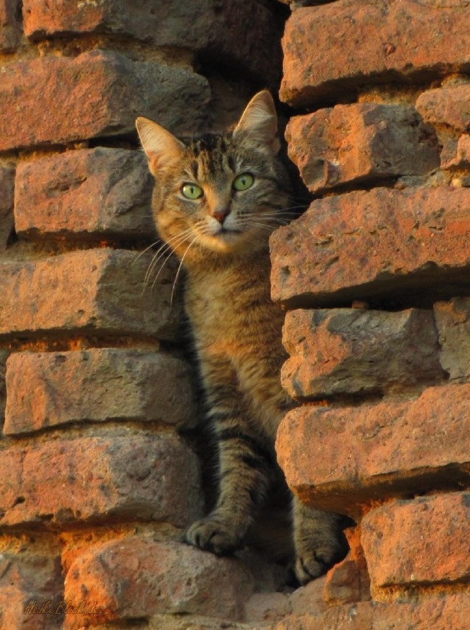 evening cat by Heike  Block