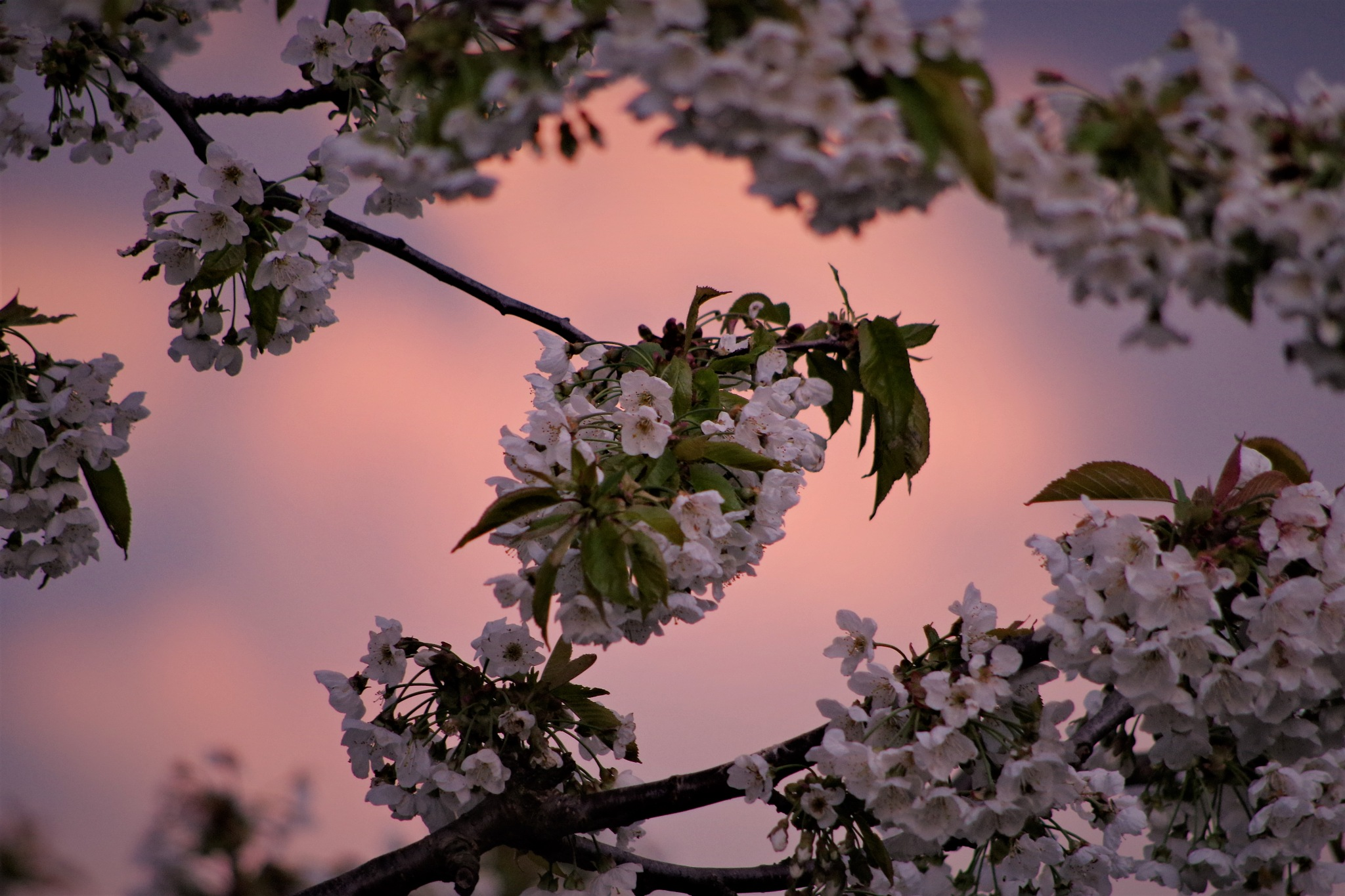 cherry blossoms  by Heike  Block