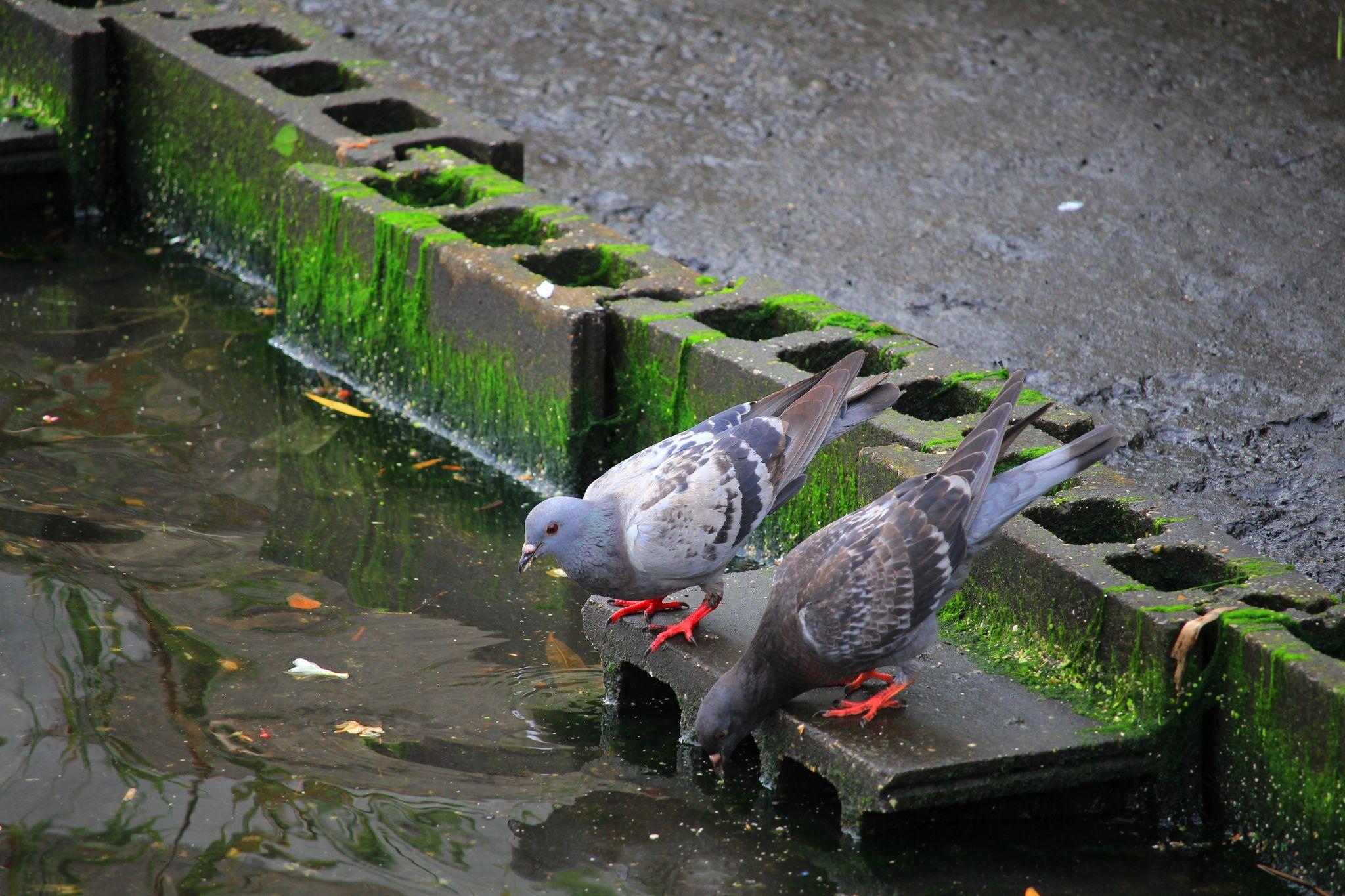 Pigeons  by Manabu Moriwaki