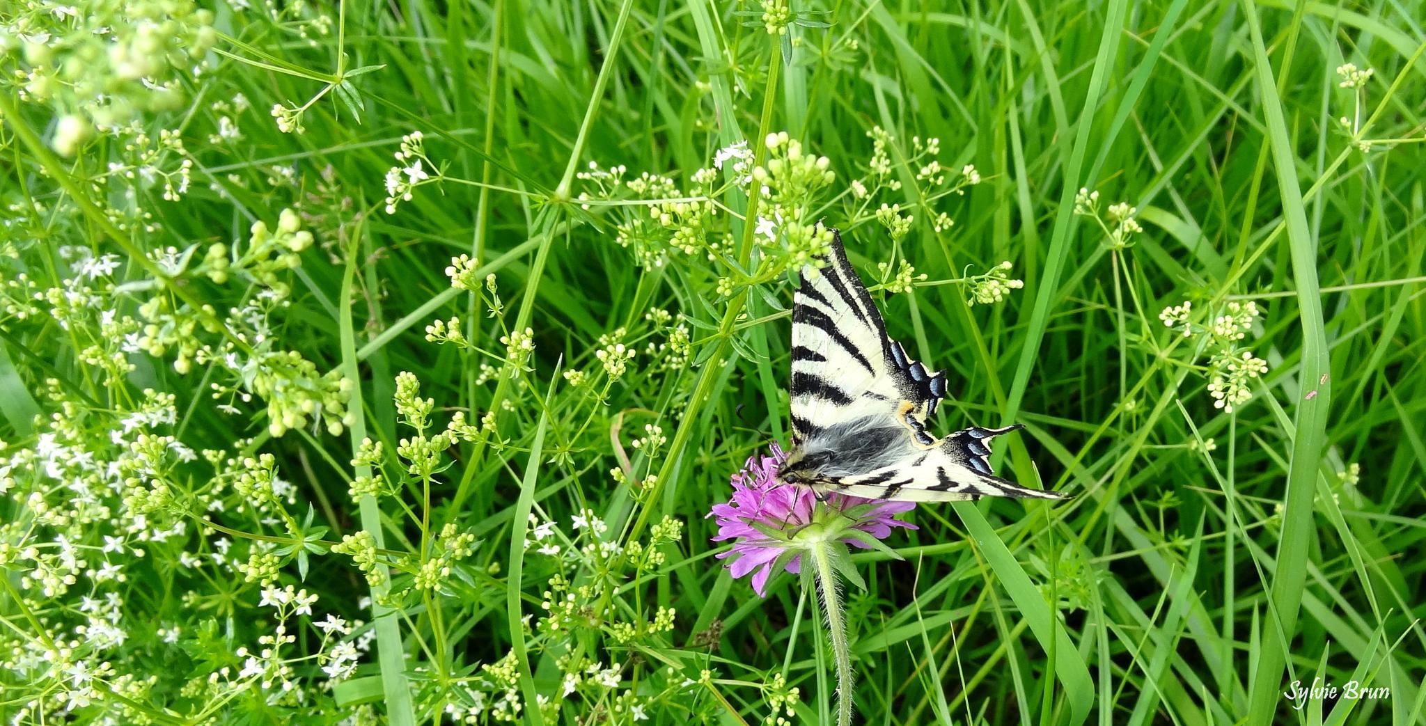 Papillon Flambé by Newsyl