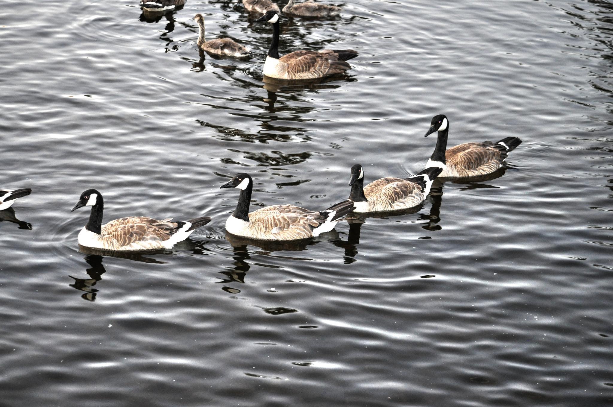 All My Ducks in a Row by Jaime Cantu