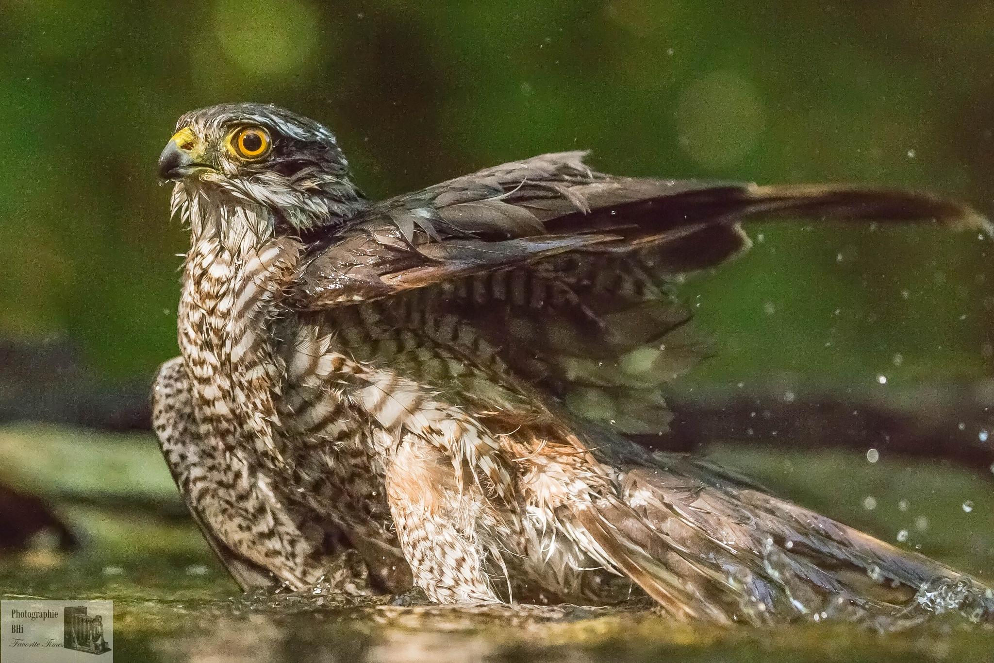 Sparrowhawk at the bath by Bernd Hinterthan