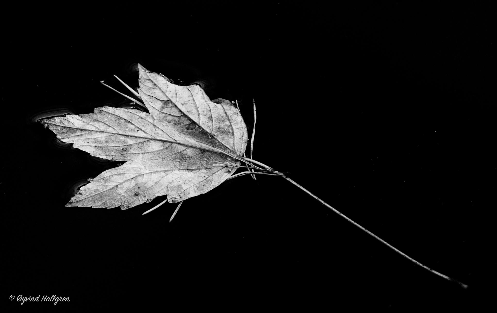 Autumn leaf on calm water by Hallgren