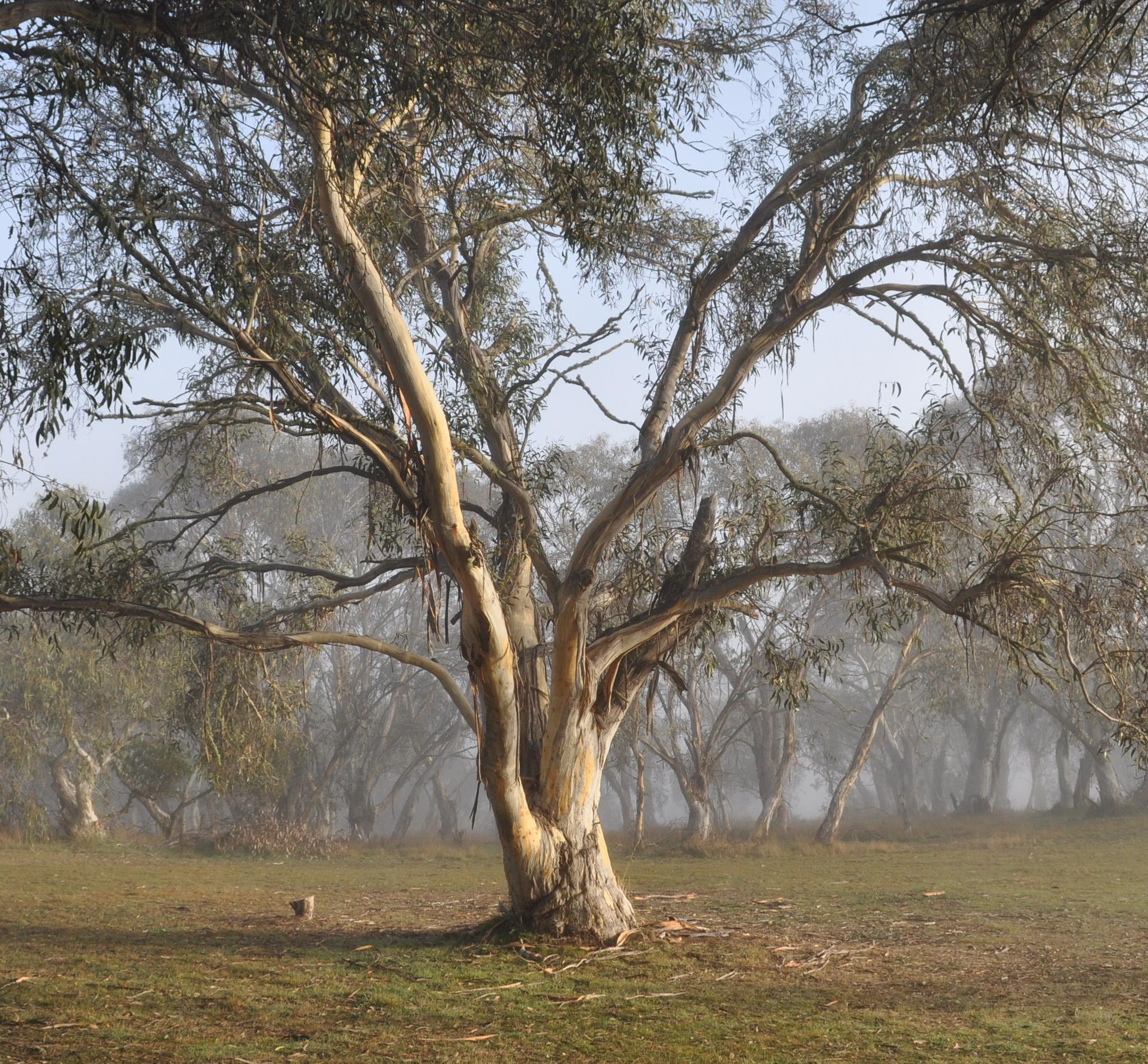 Colours of the Australian gum tree by MattGooden