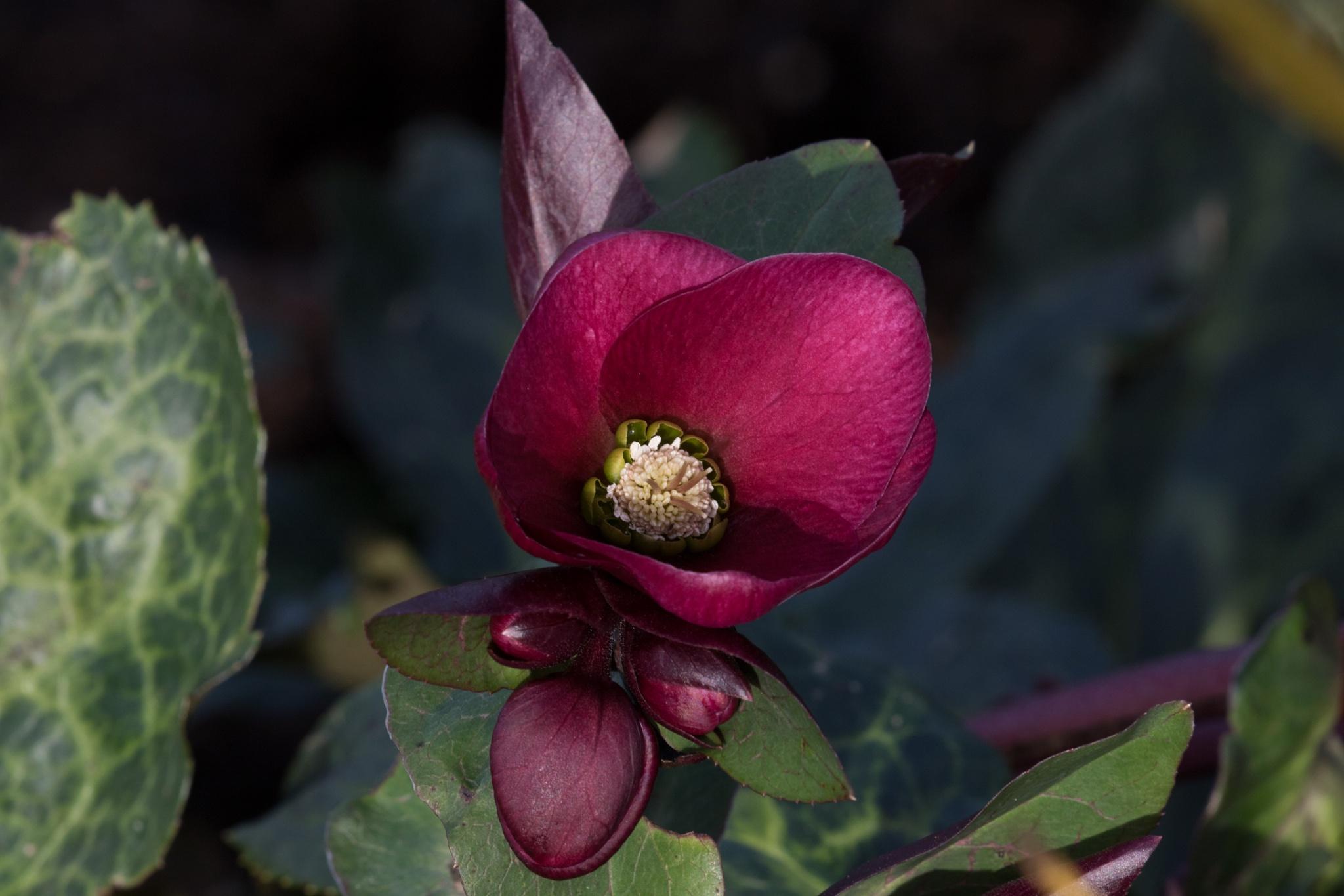 Helleborus'Anna's Red' by Steve Gill