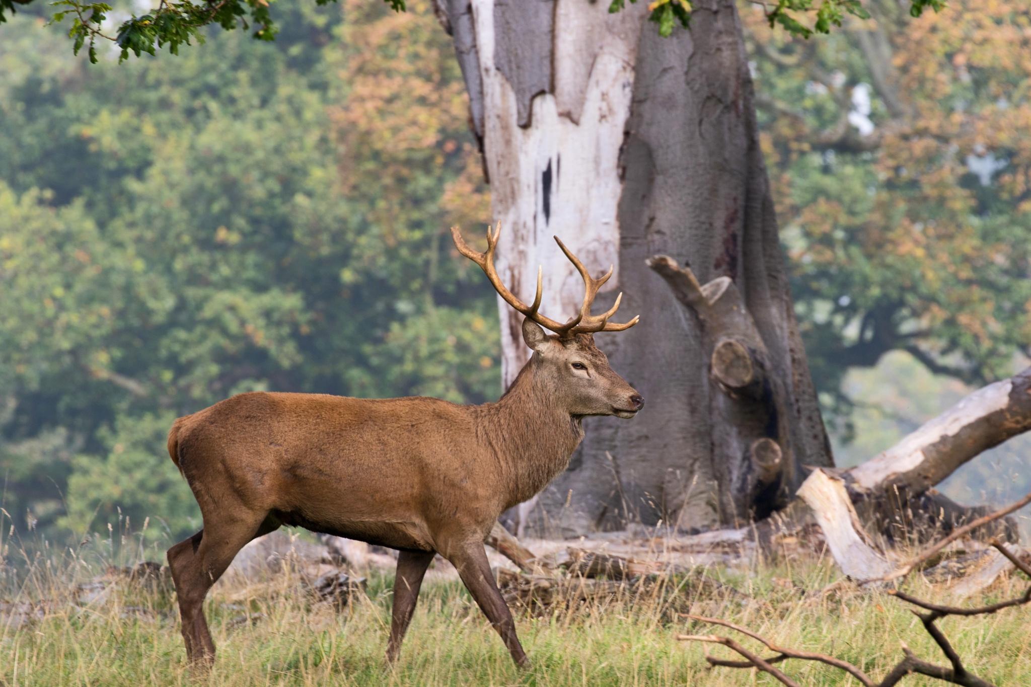 Buck Deer - Studley Royal,UK. by Steve Gill
