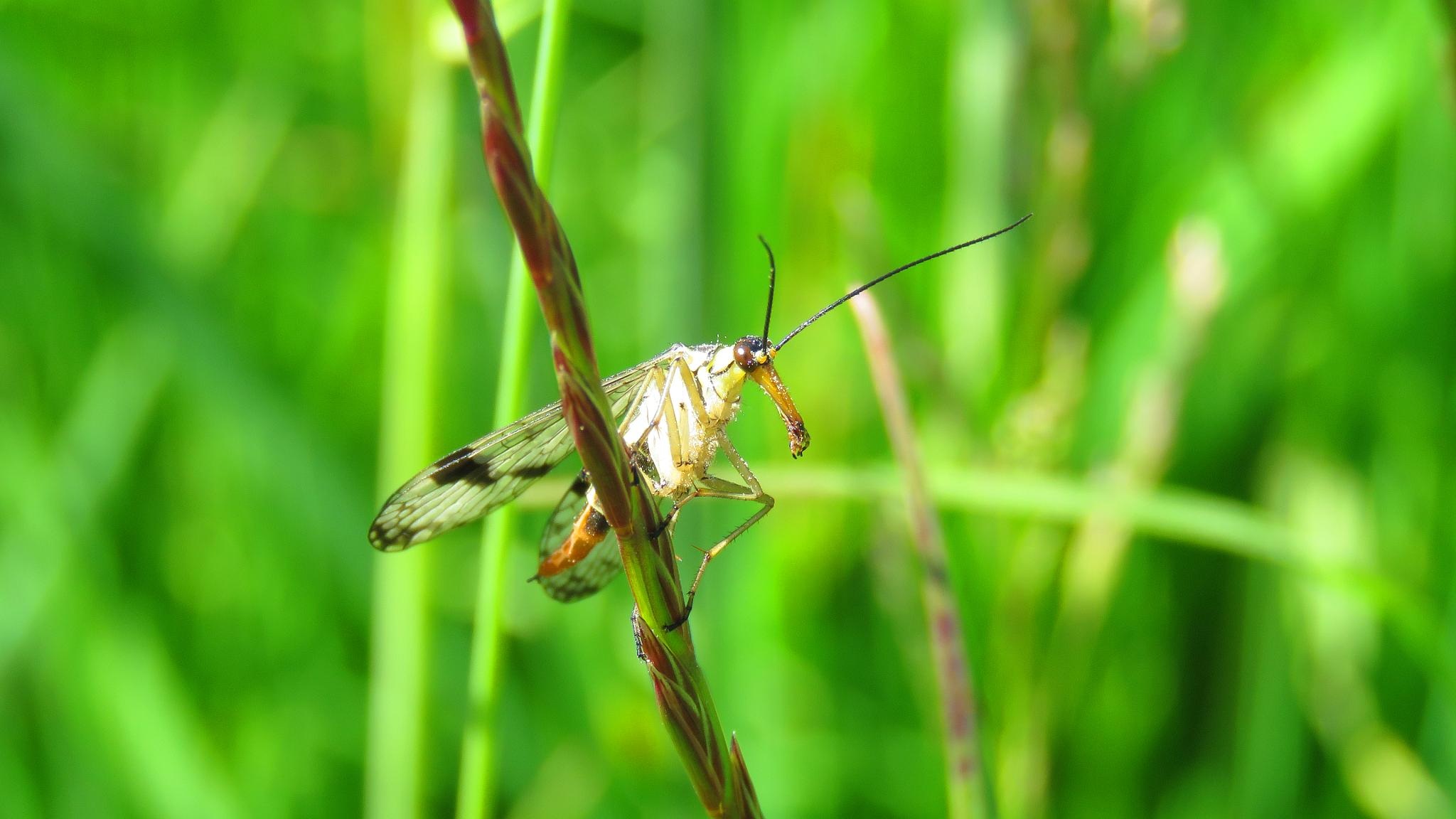 Scorpion Fly. by Steve Gill