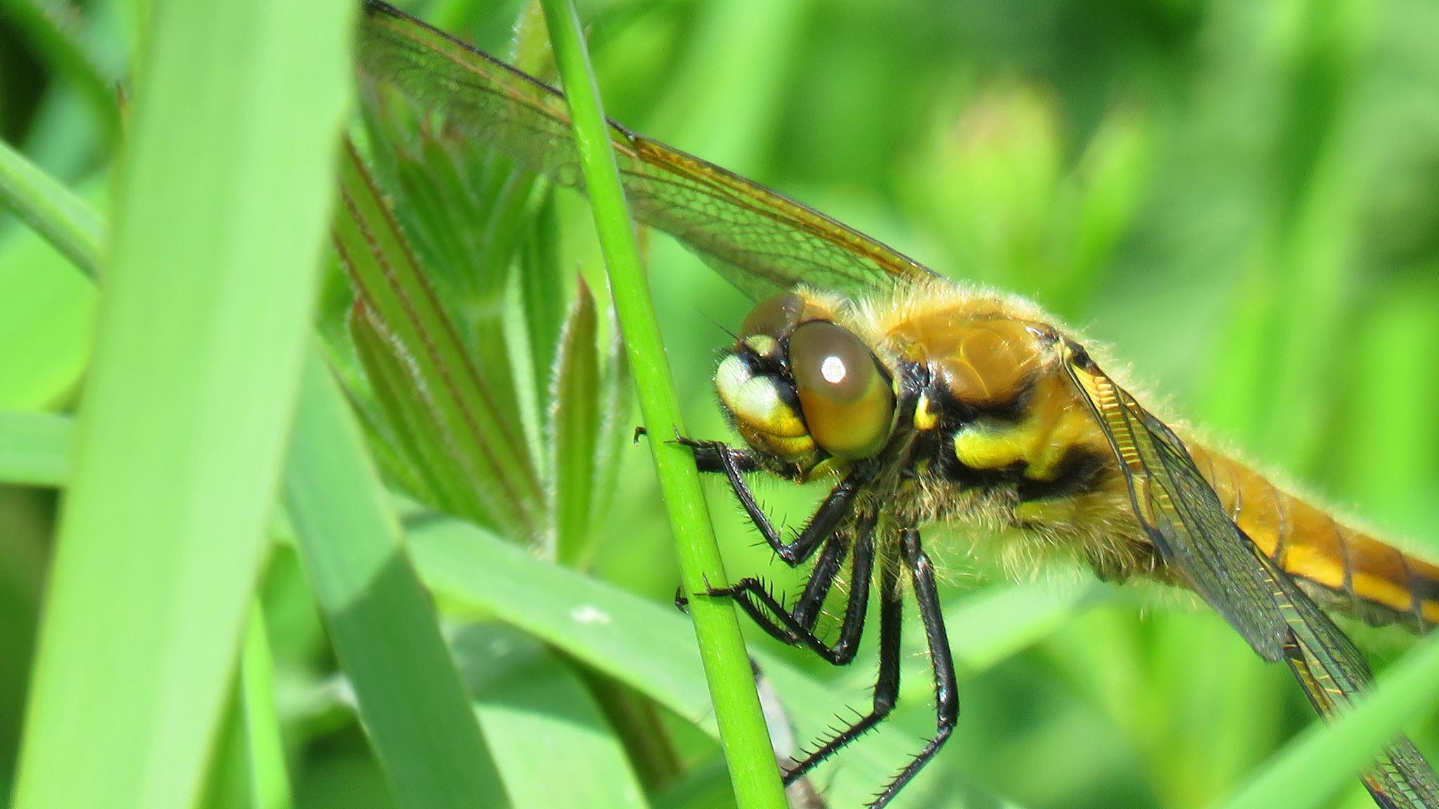 Black Darter Dragonfly. by Steve Gill