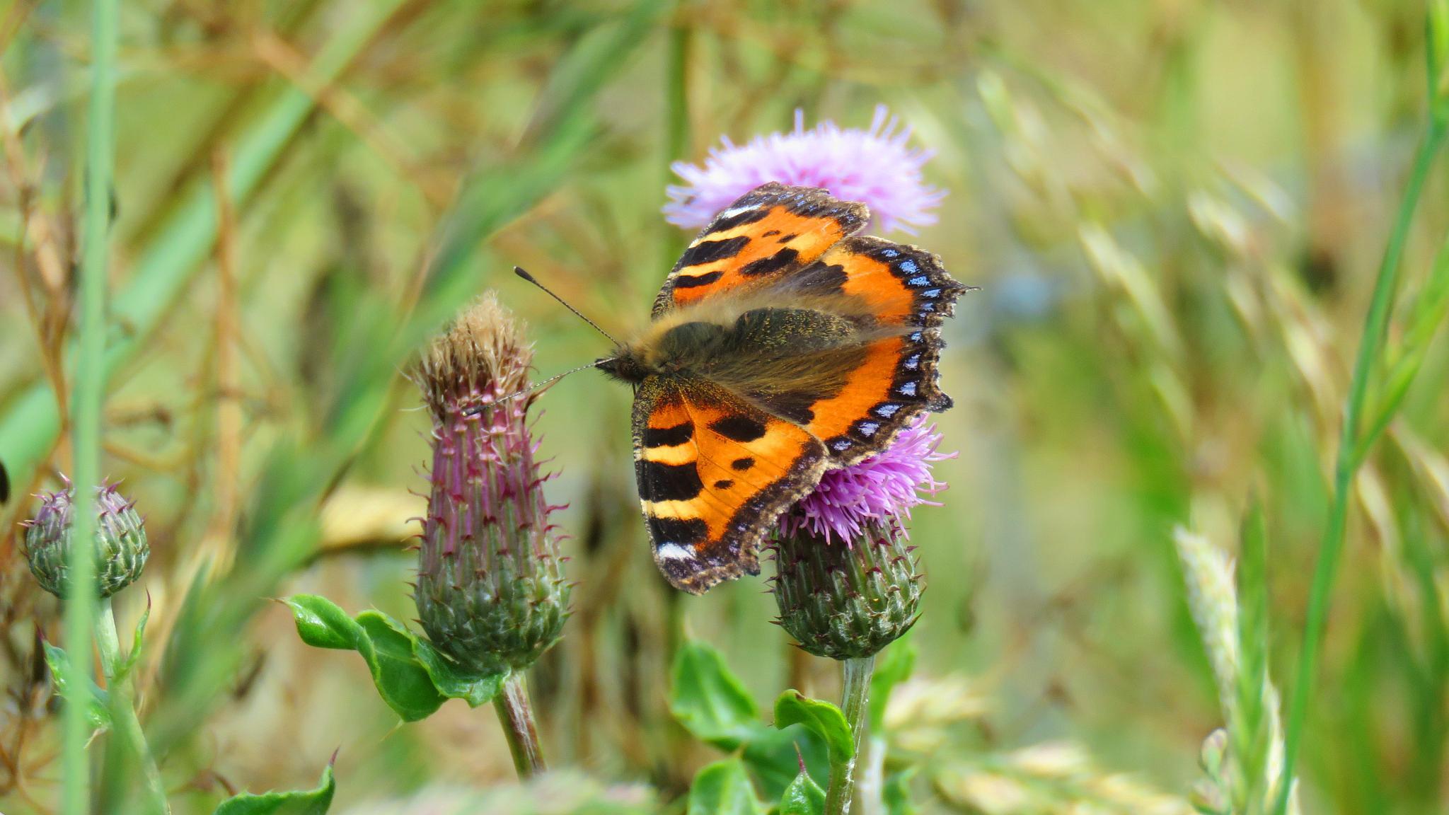 Small Tortoiseshell Butterfly. by Steve Gill