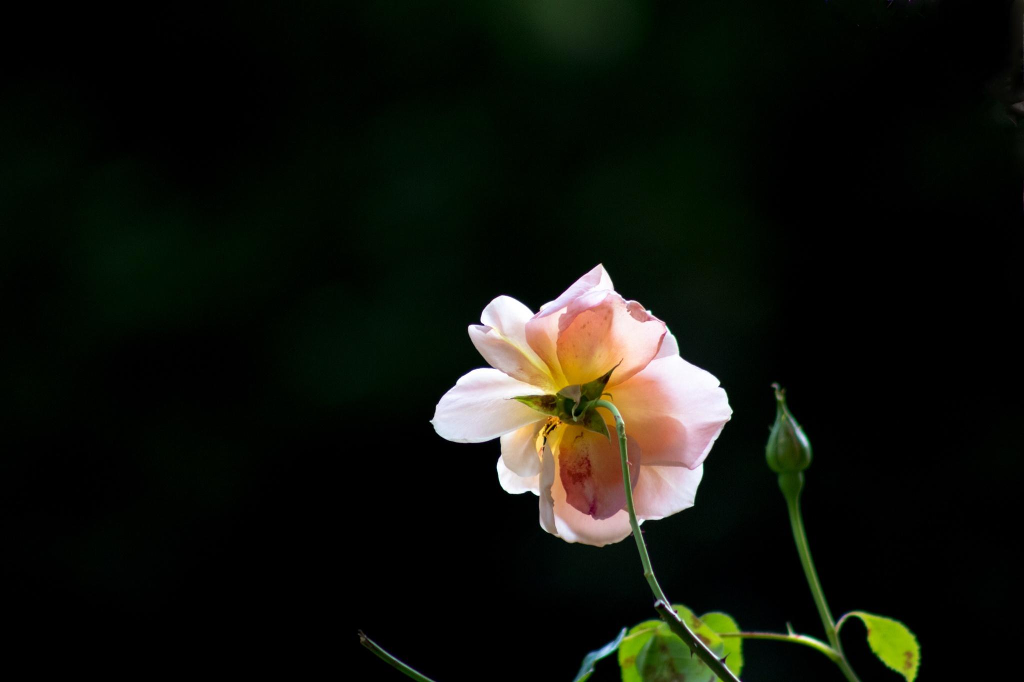 Sunlit Rose. by Steve Gill
