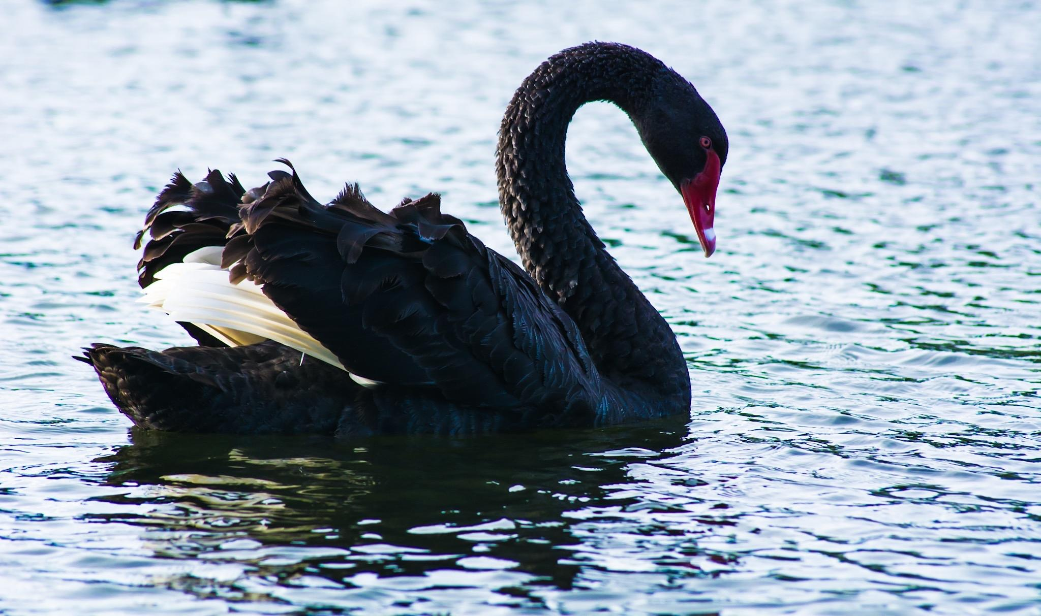 Black Swan by Chris  Dunell