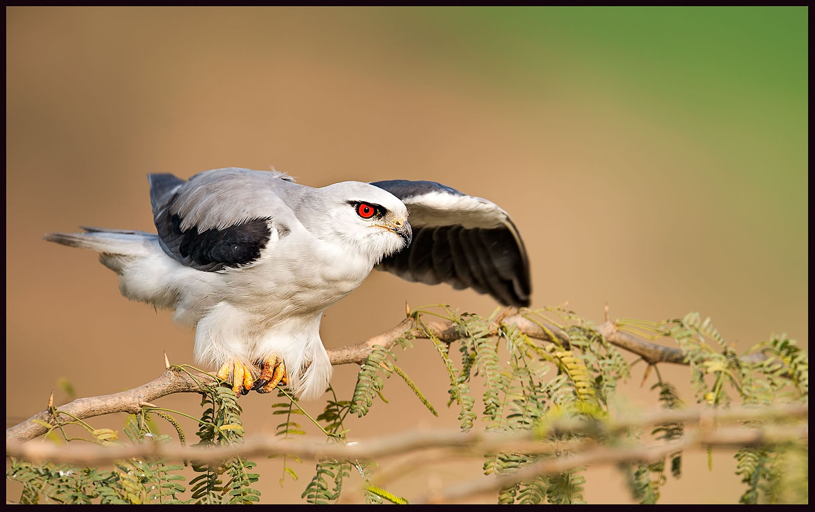 Black- Shouldered Kite by Arshad Ashraf