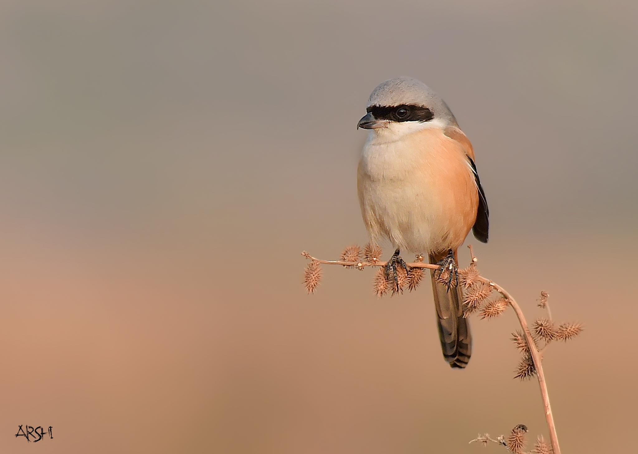 Rufous Backed Shrike by Arshad Ashraf