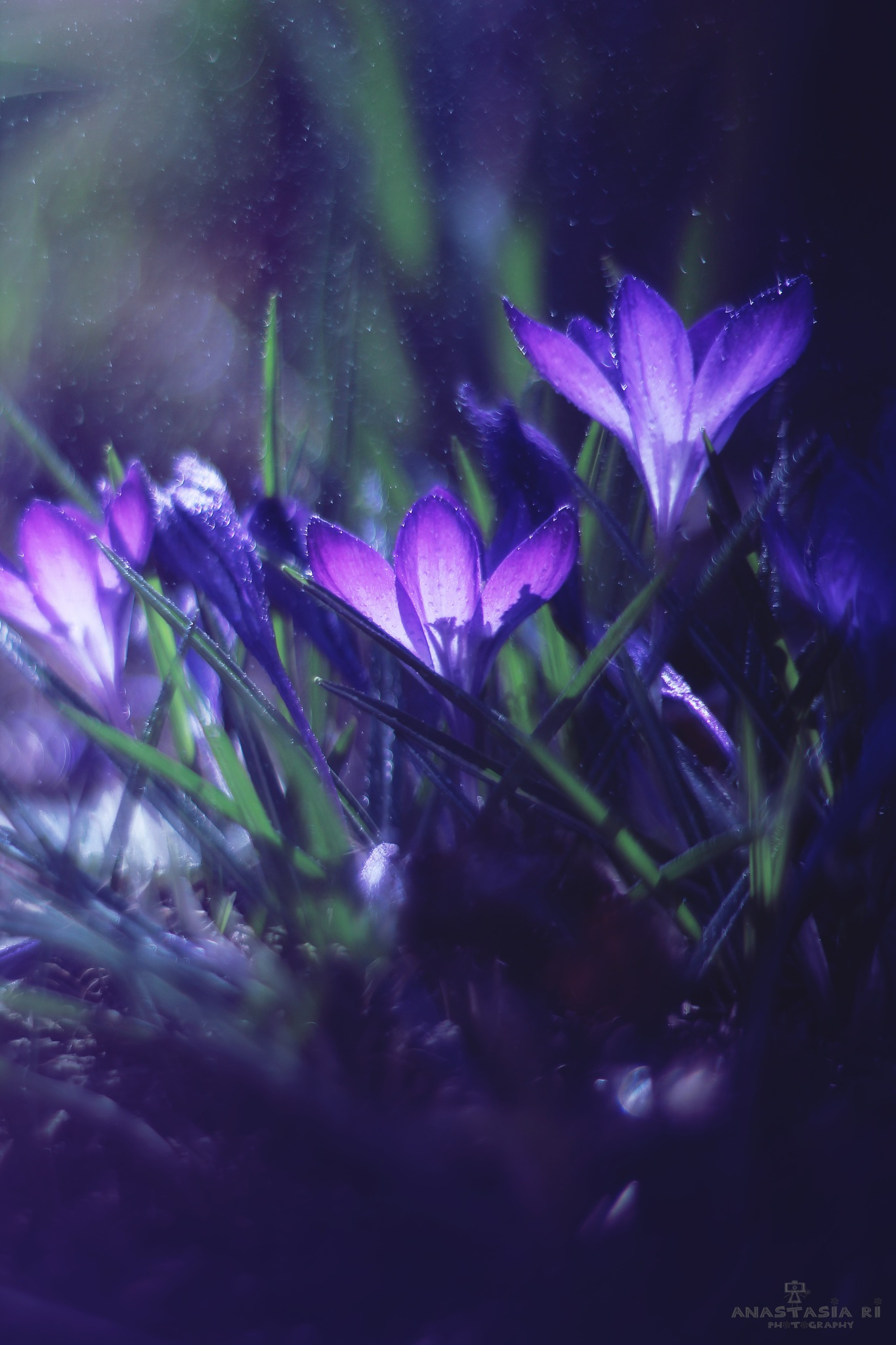Embrace the crocus by Anastasia