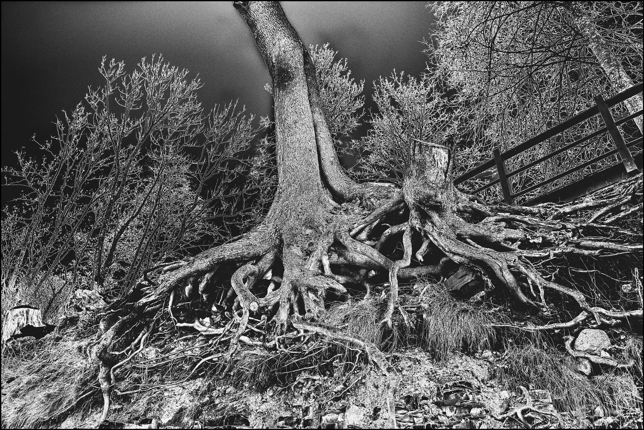 Roots by IndarsVetrajs