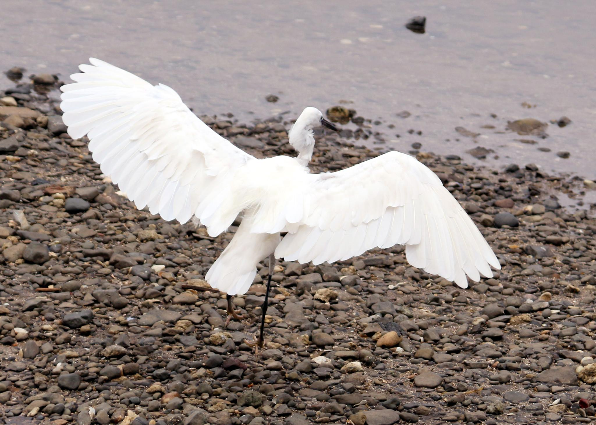 White Wings by Nishikant Patil