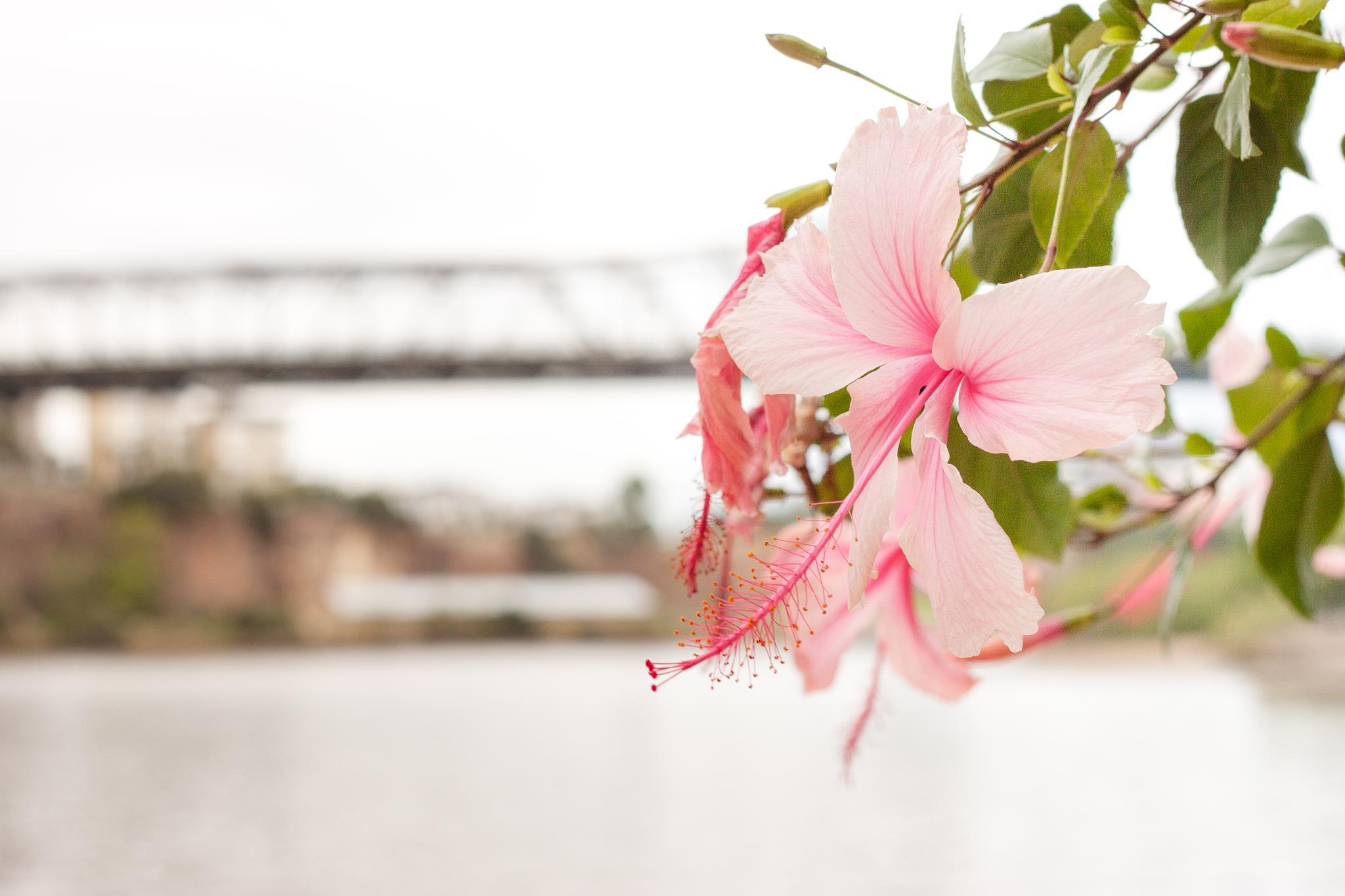 Pink flower by Morris Ljung