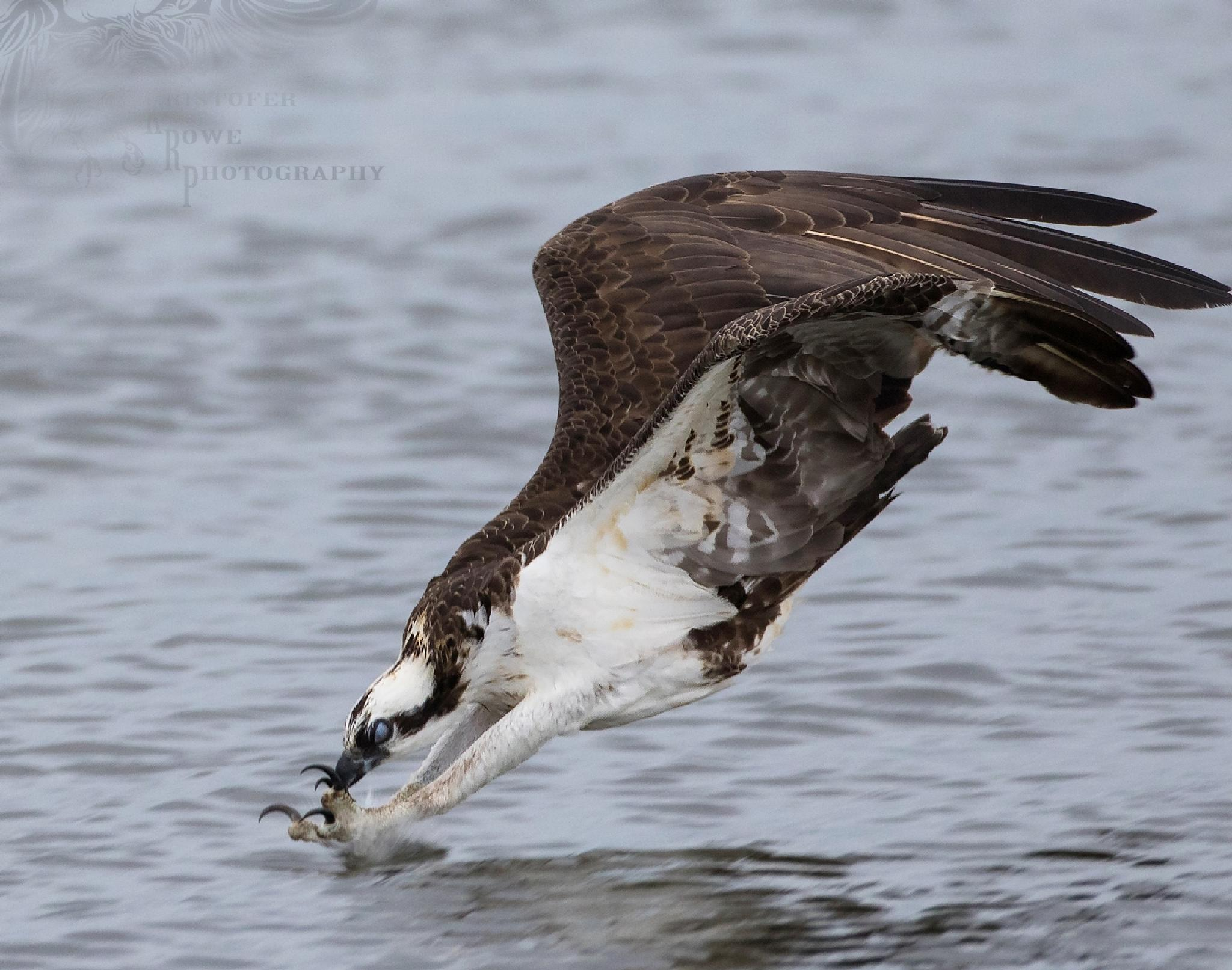 Osprey Dive by Kristofer Rowe