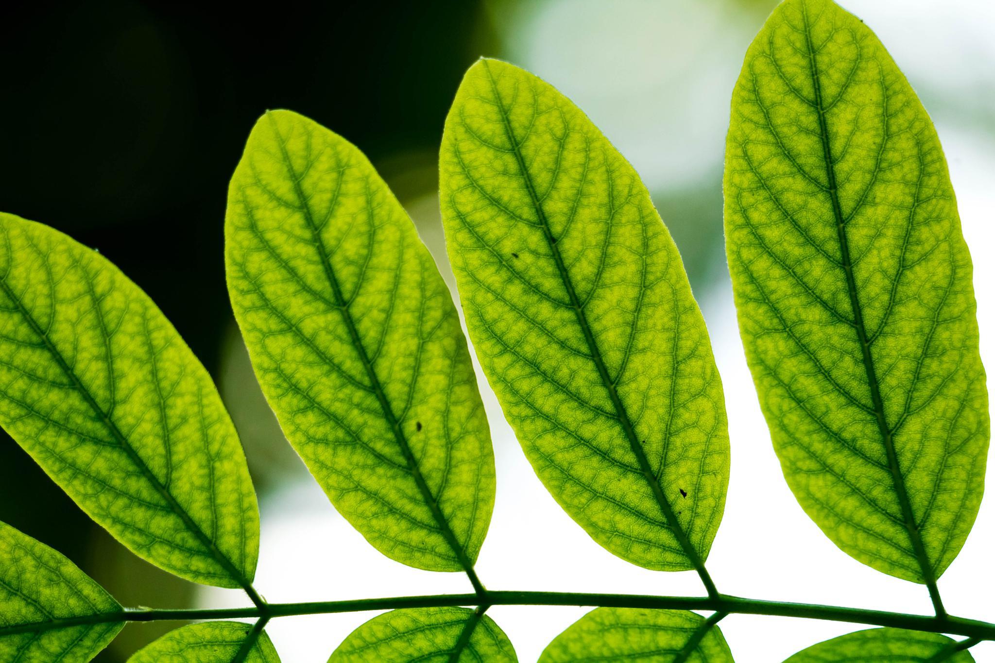 Green Leaf by Seyyed Ali Dashti