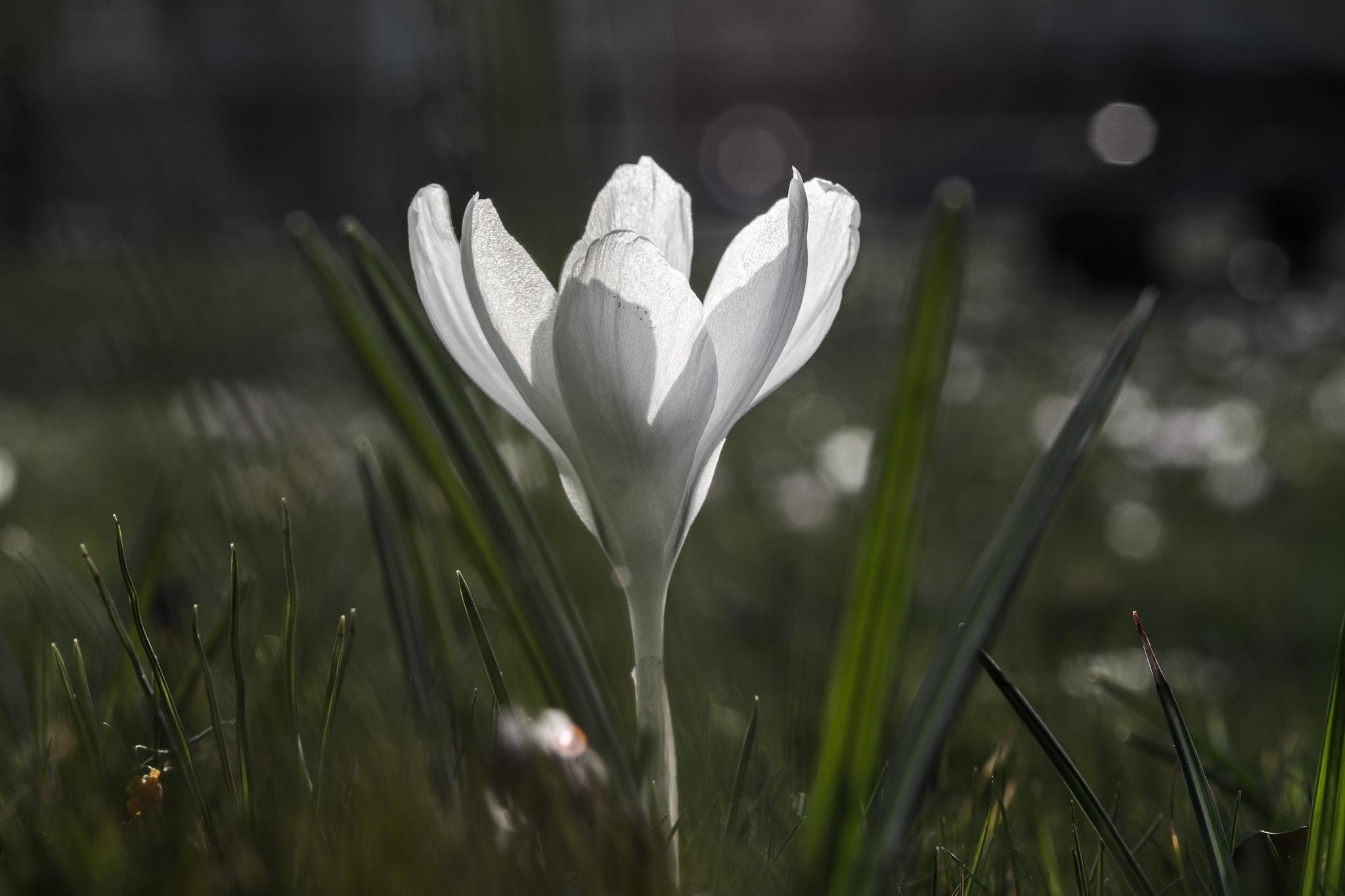 white flower by DavidZisky
