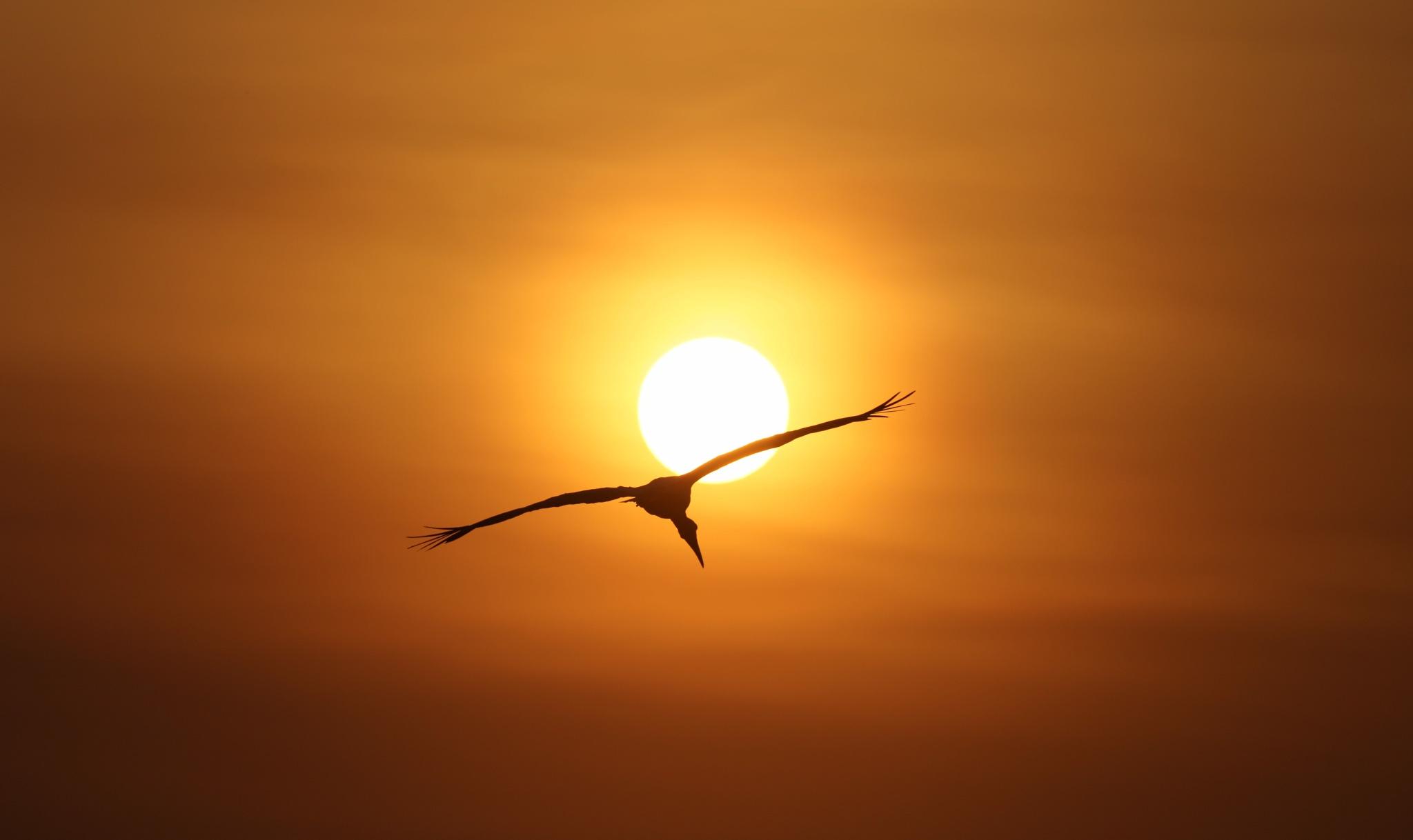 Yellow-billed Stork by Janaka