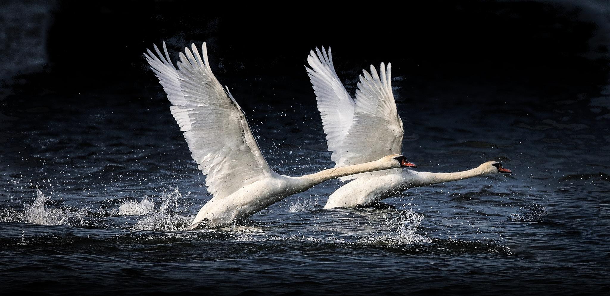 Mute swans by Janaka