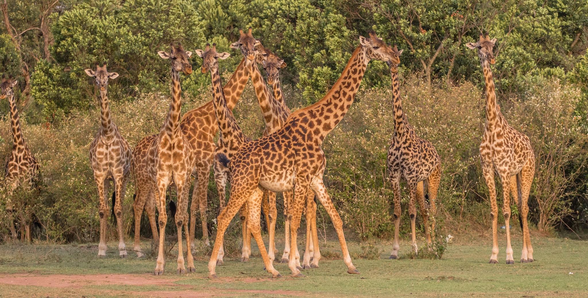Masai Giraffe  fashion show by Janaka