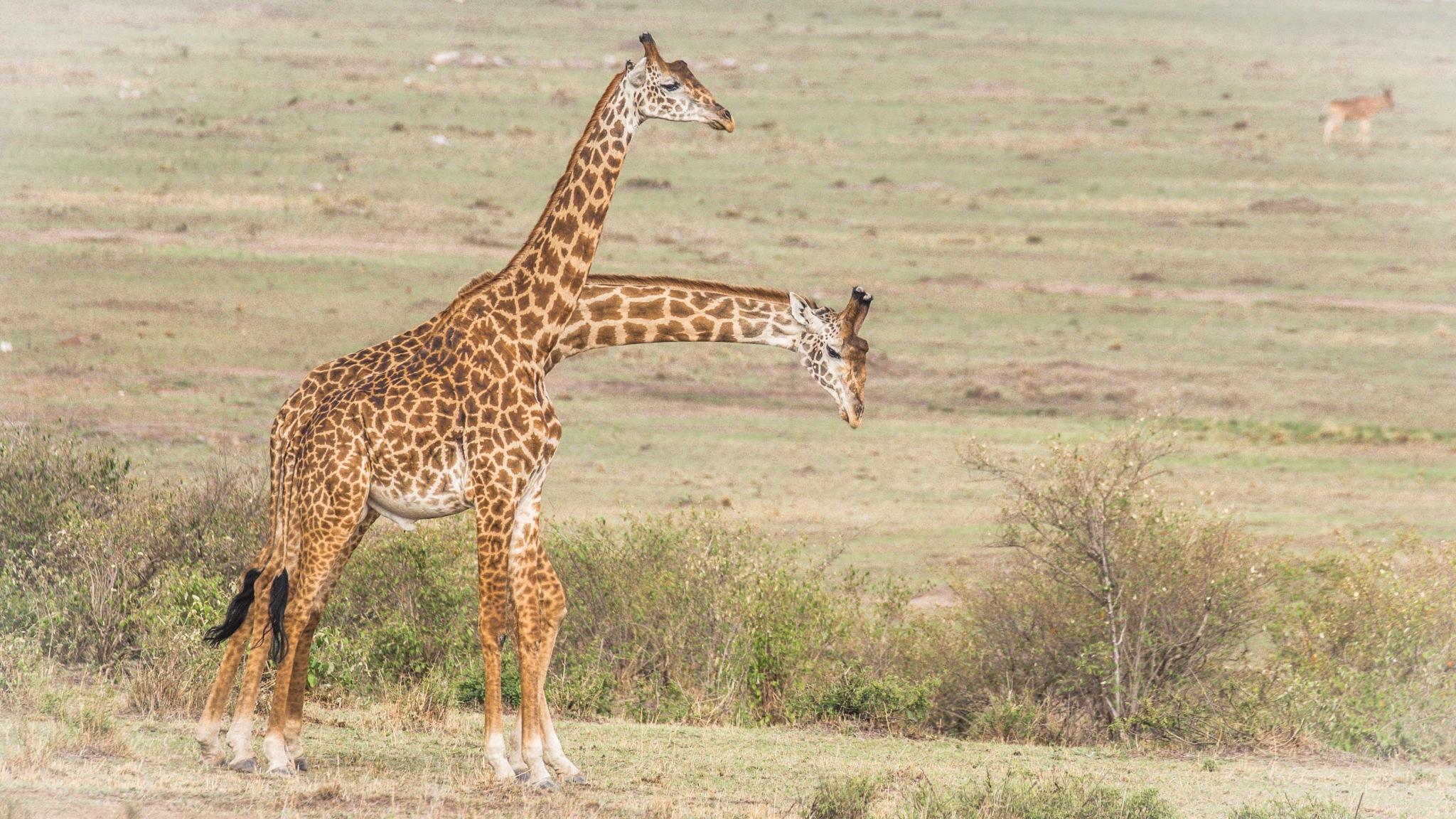 Giraffa camelopardalis by Janaka