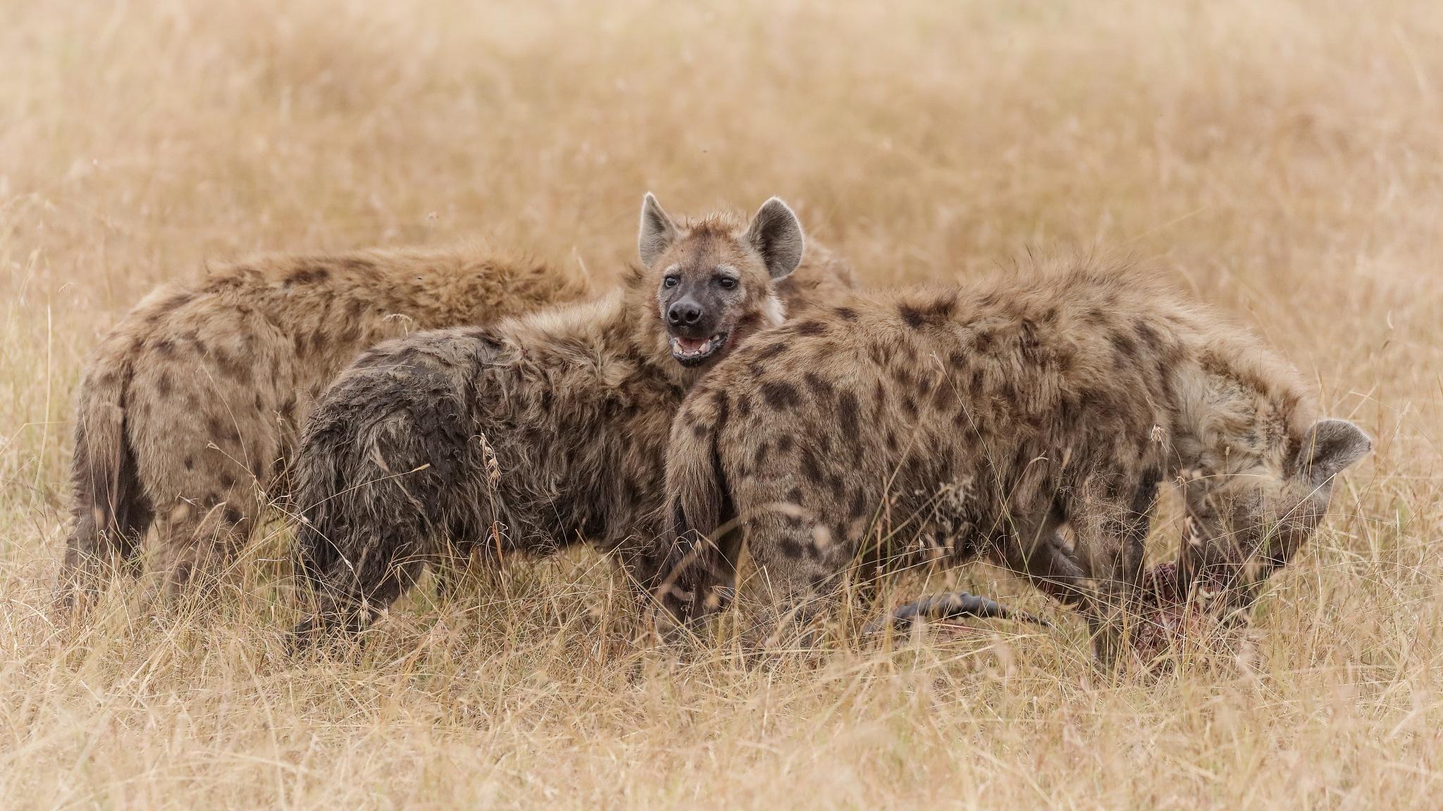 Three Hyenas by Janaka