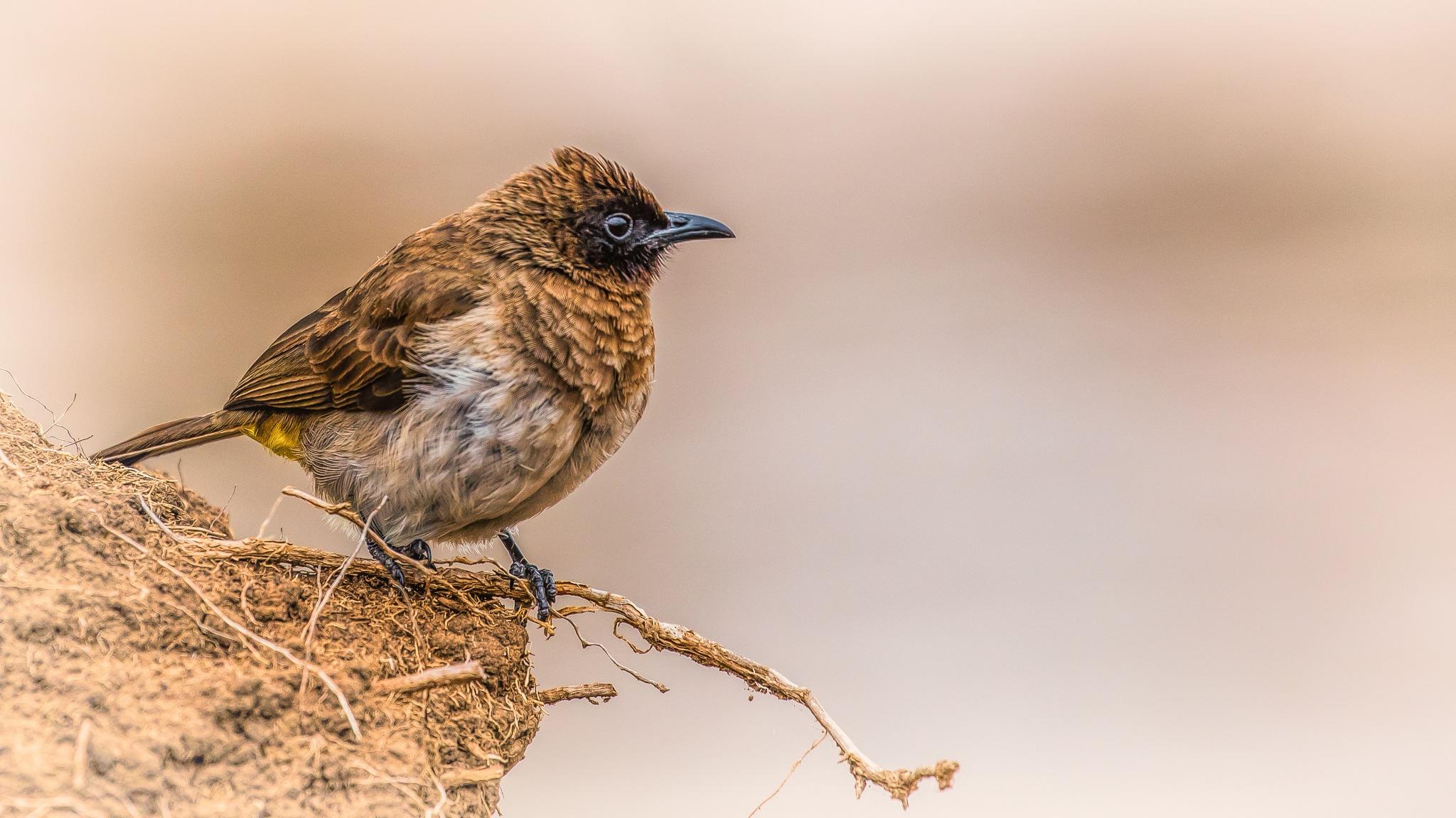 Pycnonotus barbatus by Janaka
