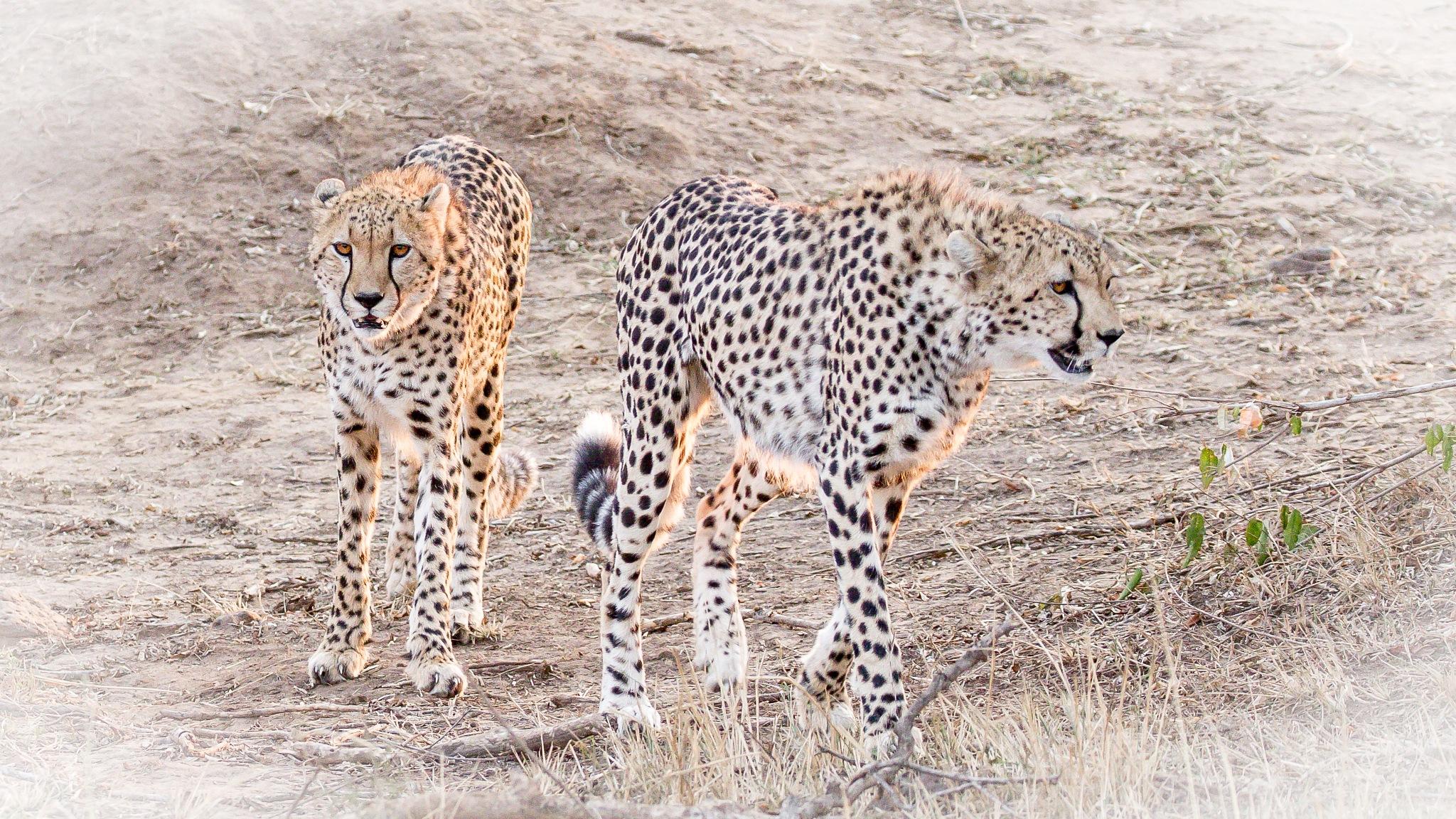 Cheetahs by Janaka
