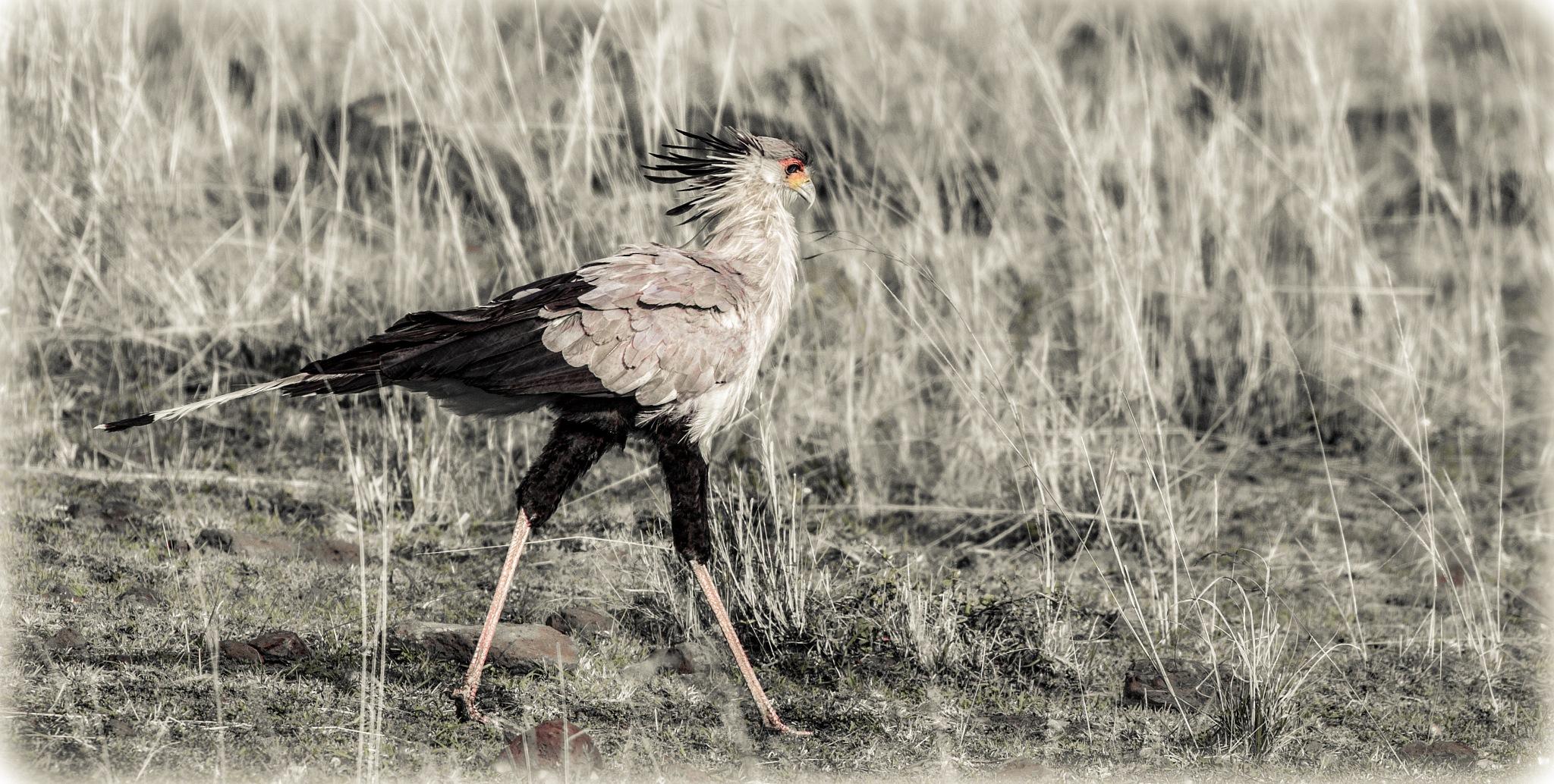 Secretary Bird by Janaka