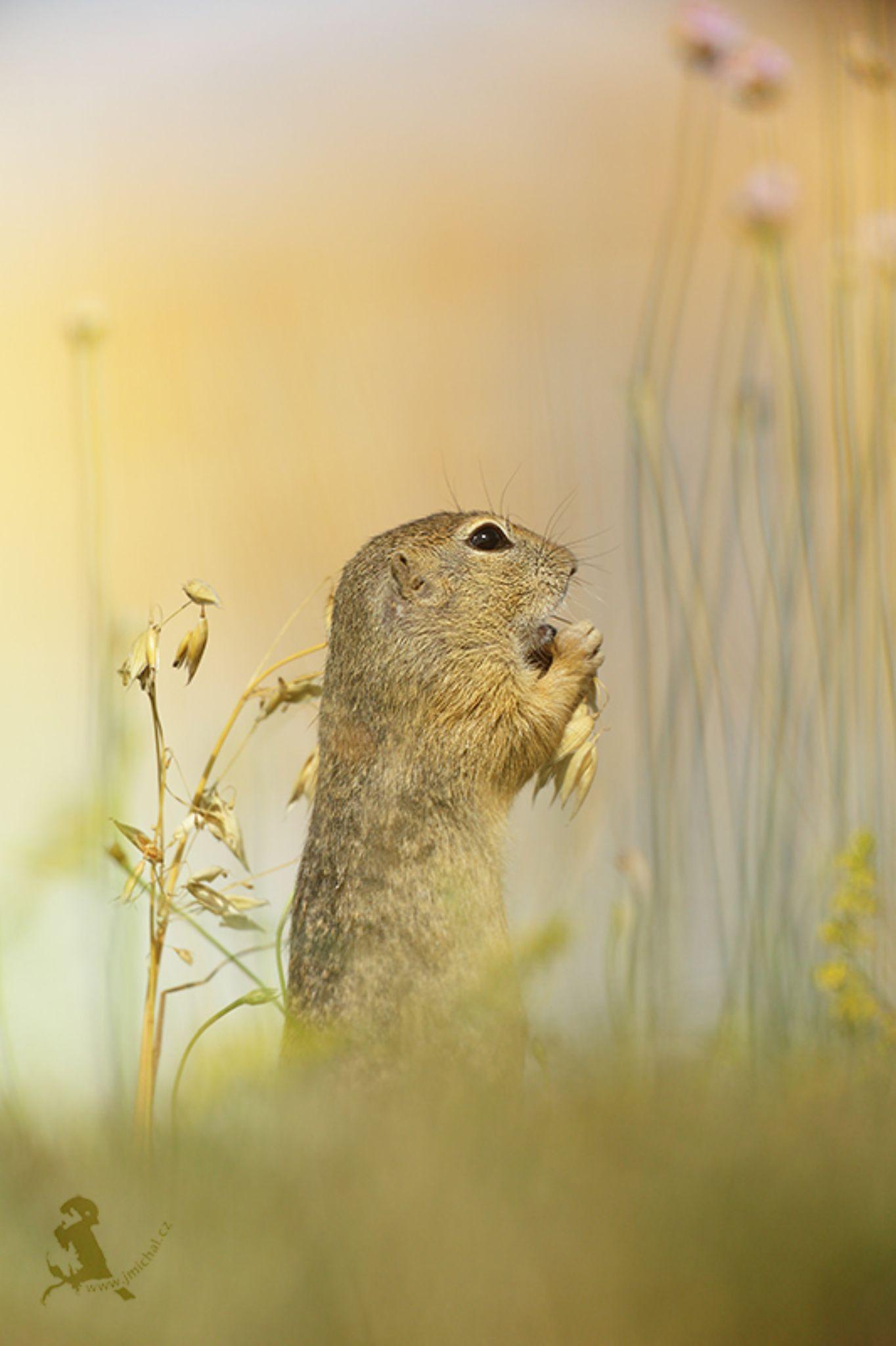 Ground Squirrel by MichalJiri