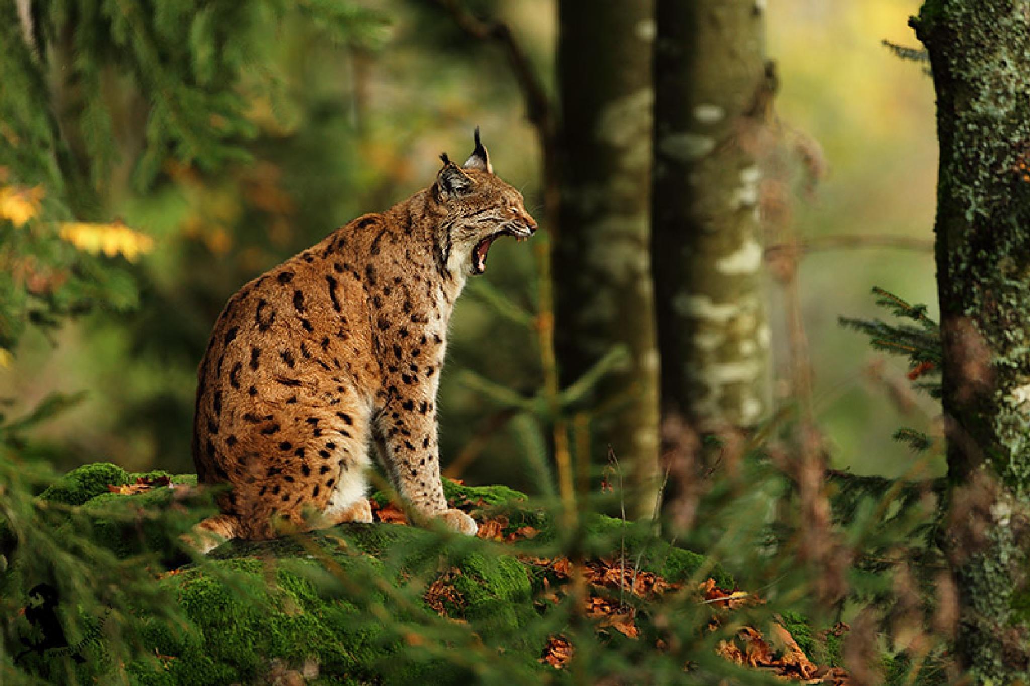 Photo in Animal #lynx #animal #mammal