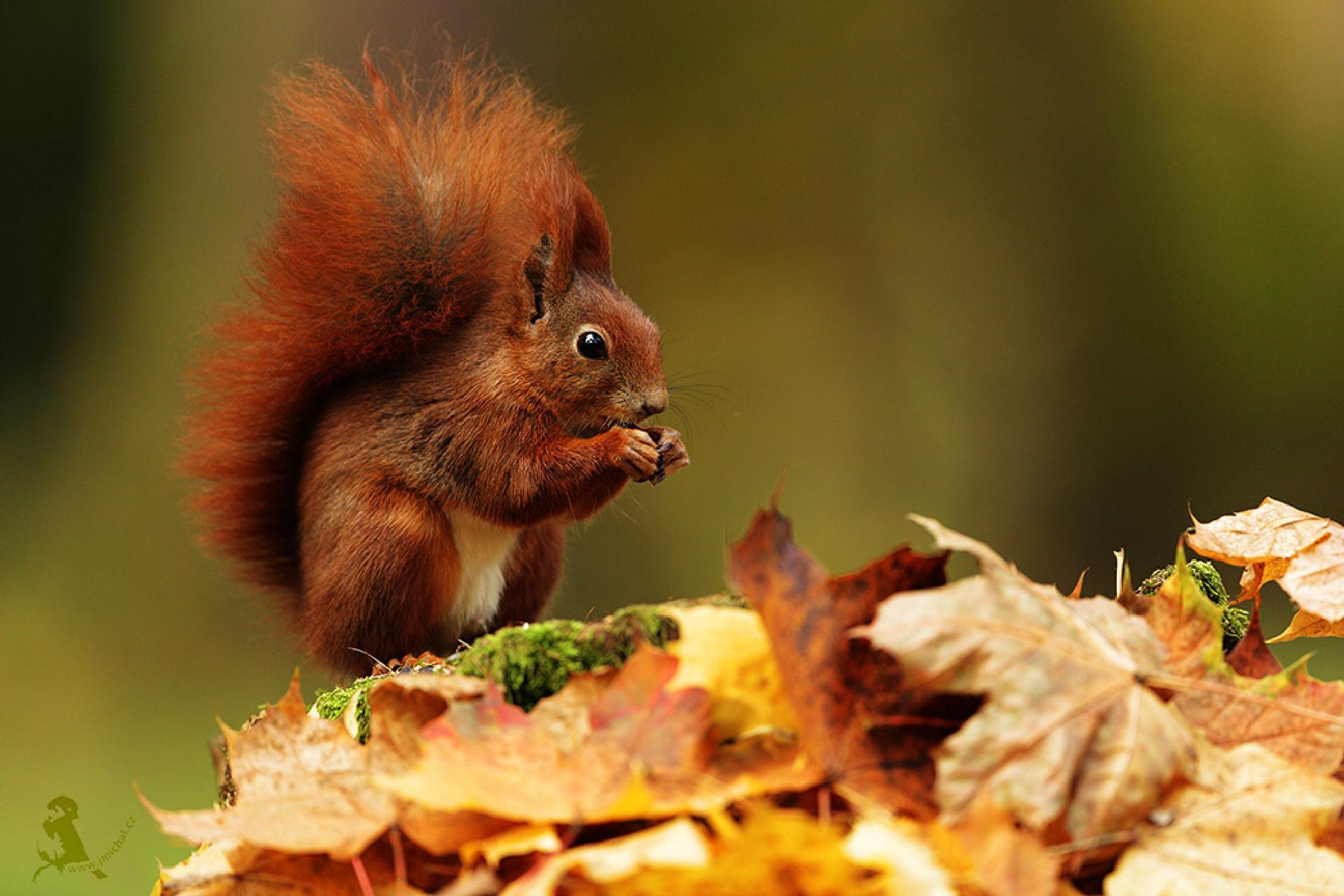 Red squirrel by MichalJiri