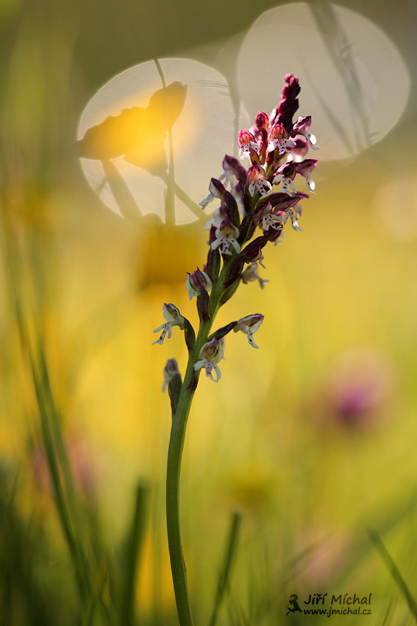 Burnt Orchid by MichalJiri