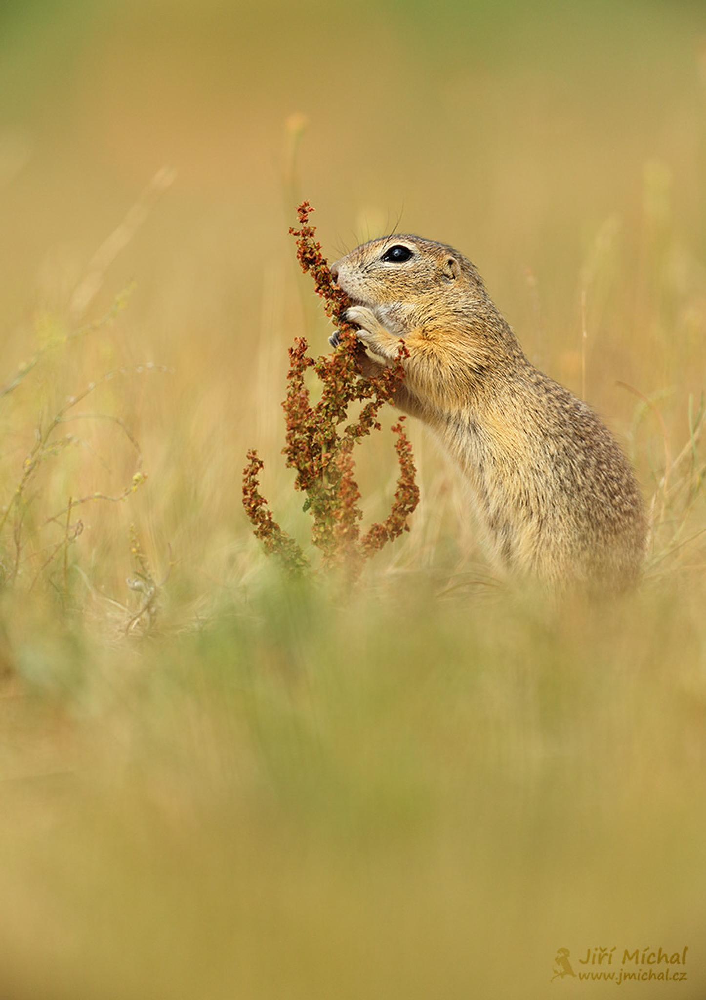 European ground squirrel by MichalJiri