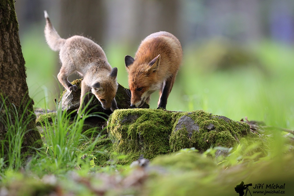 Foxes by MichalJiri